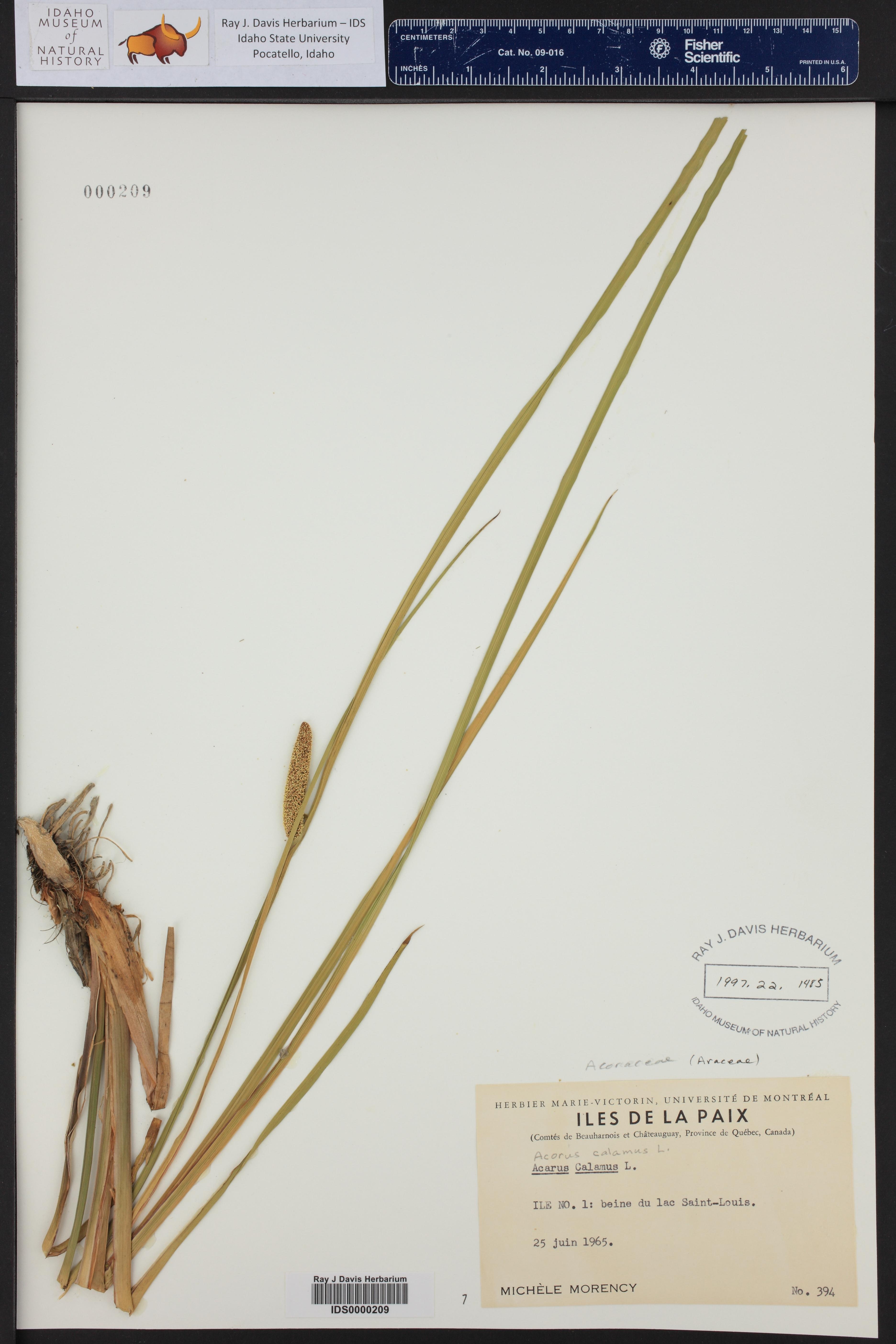 Acorus calamus ()