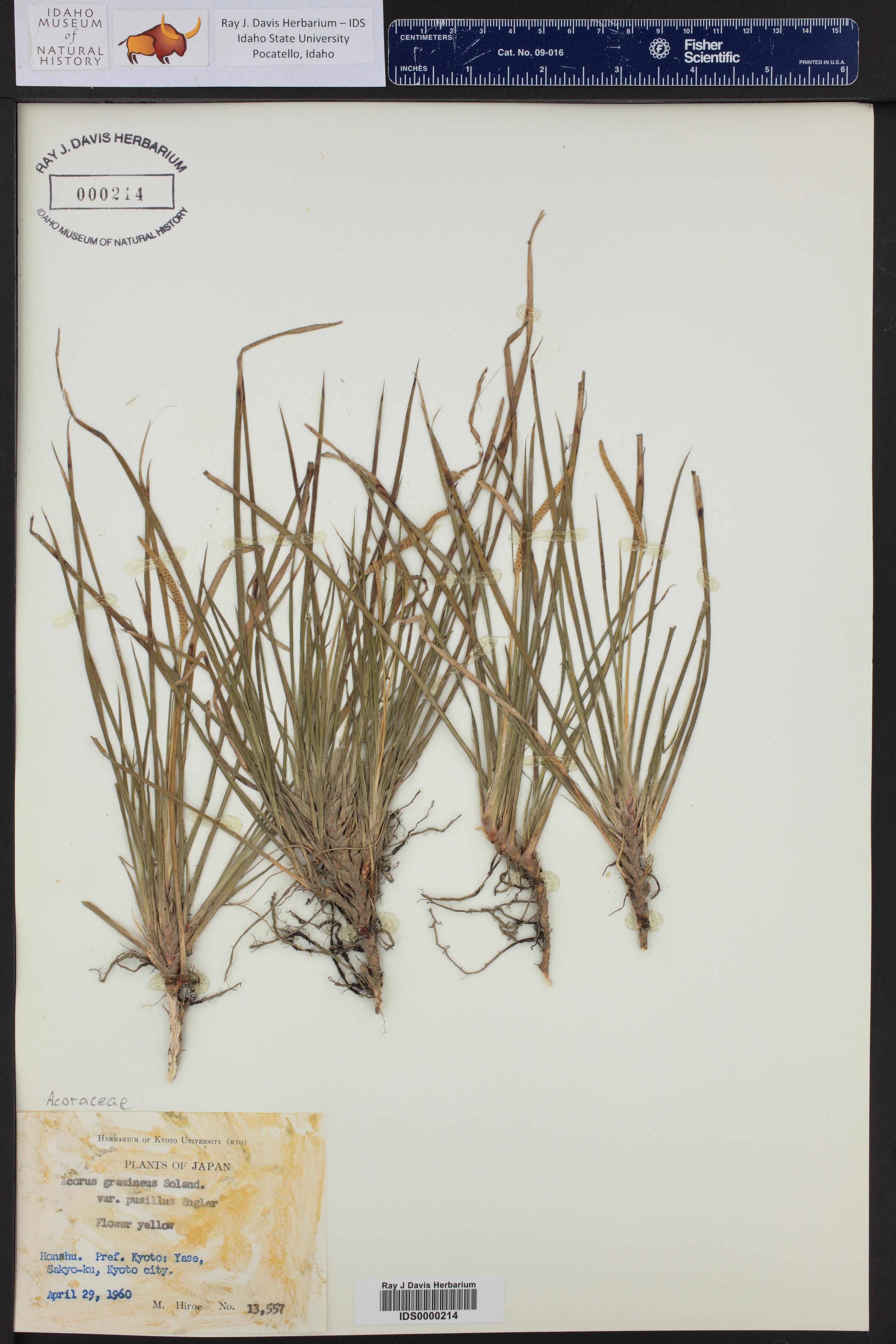 Acorus gramineus var. pusilus ()
