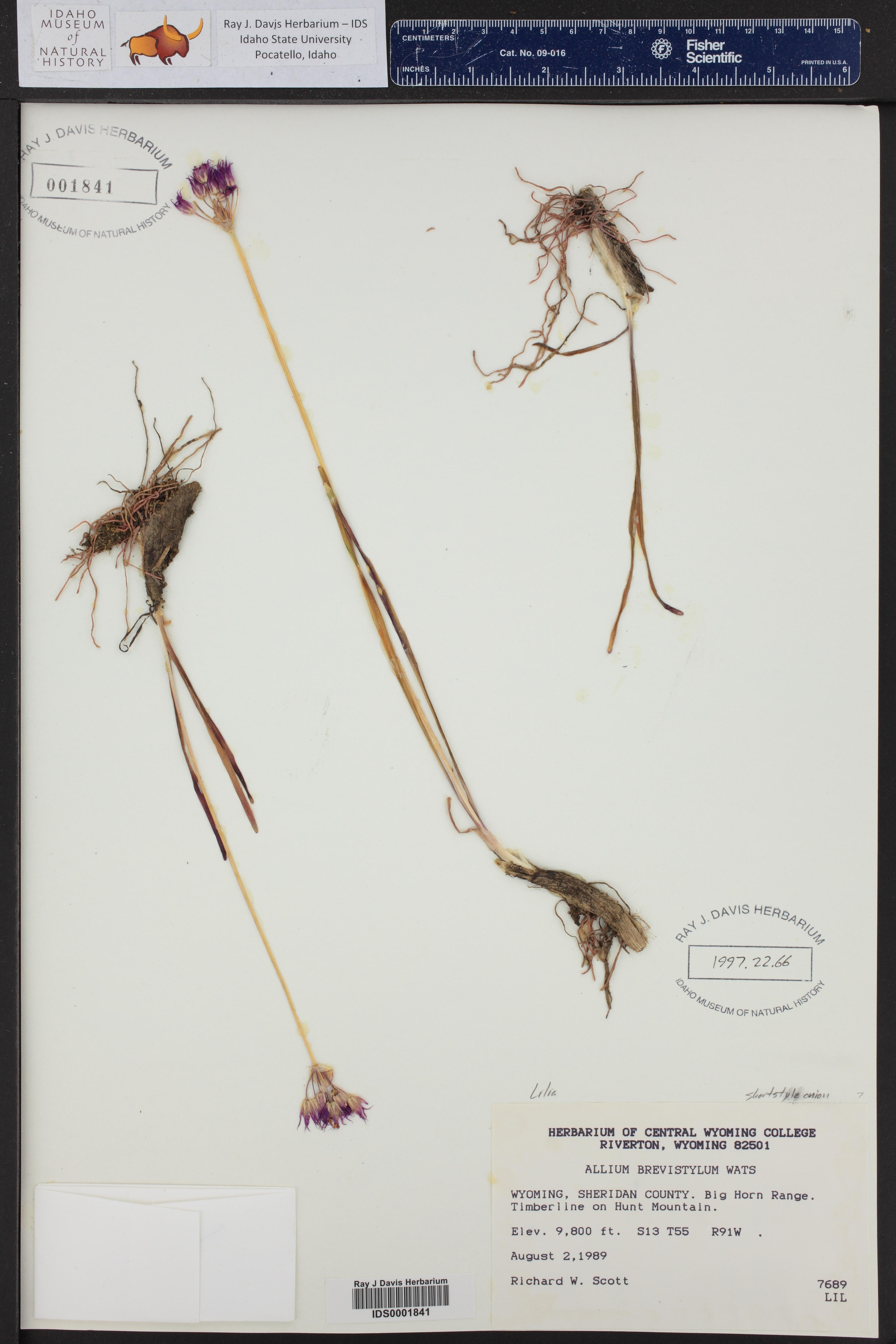Allium brevistylum ()