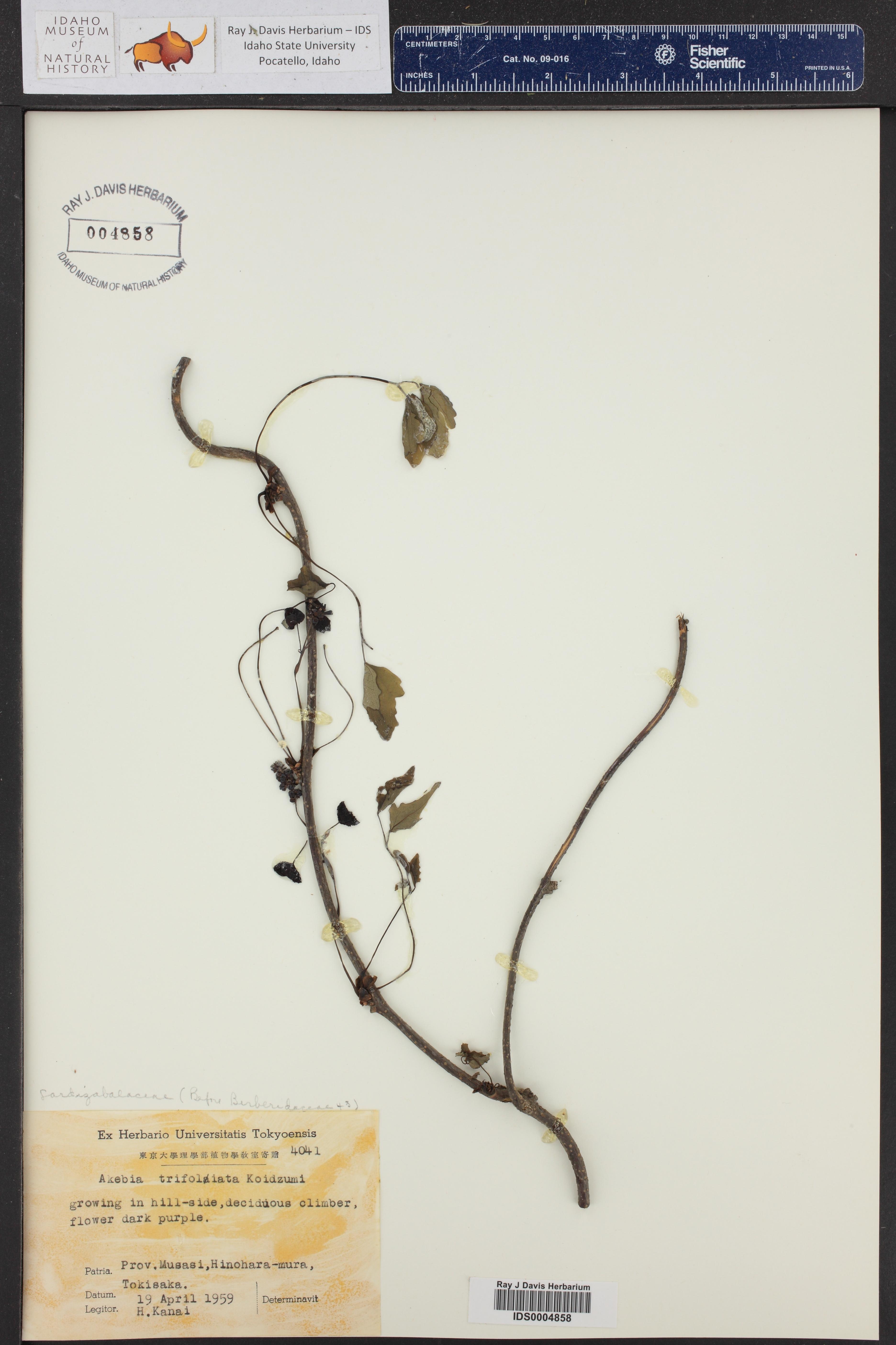Akebia trifoliata ()