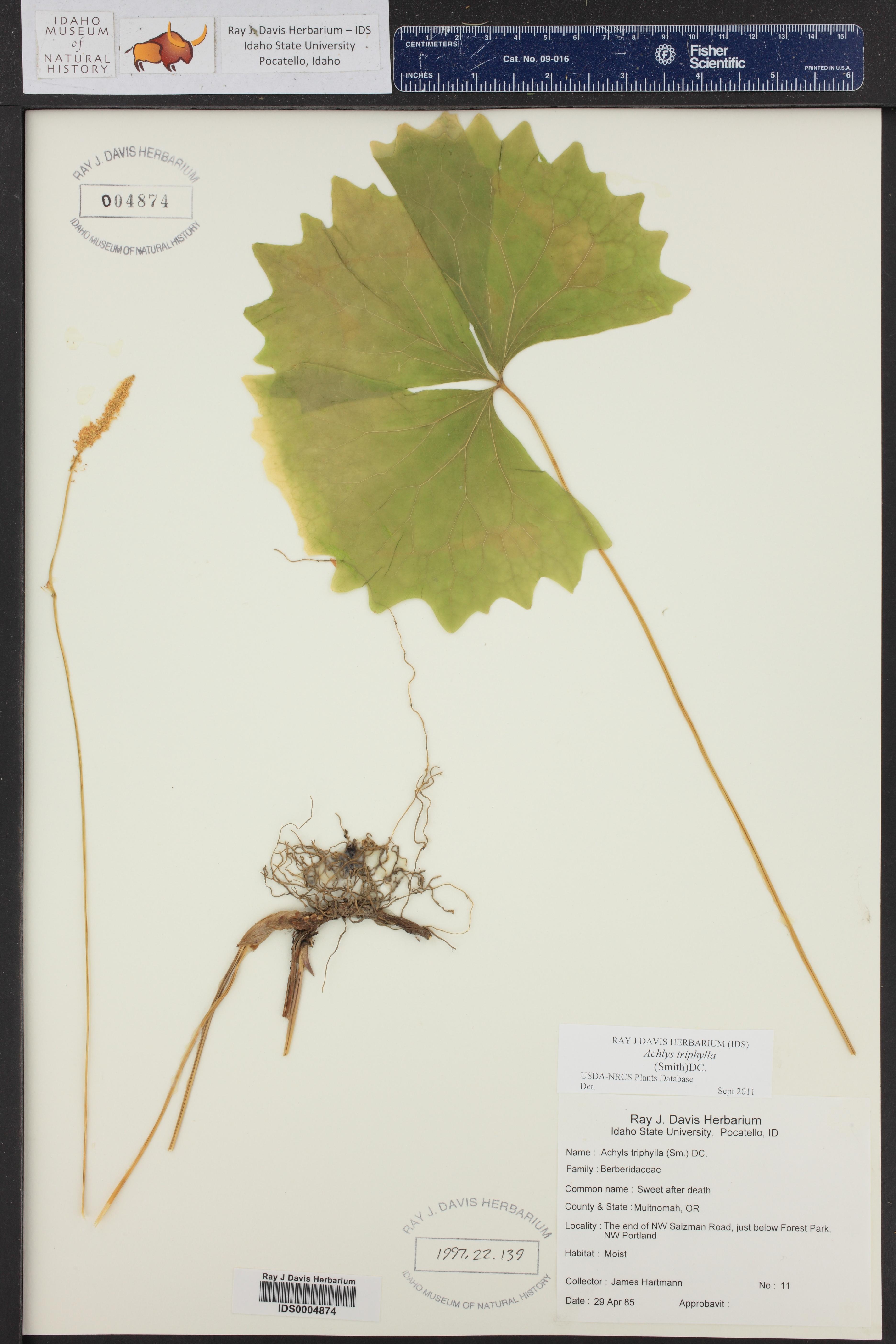 Achlys triphylla ()