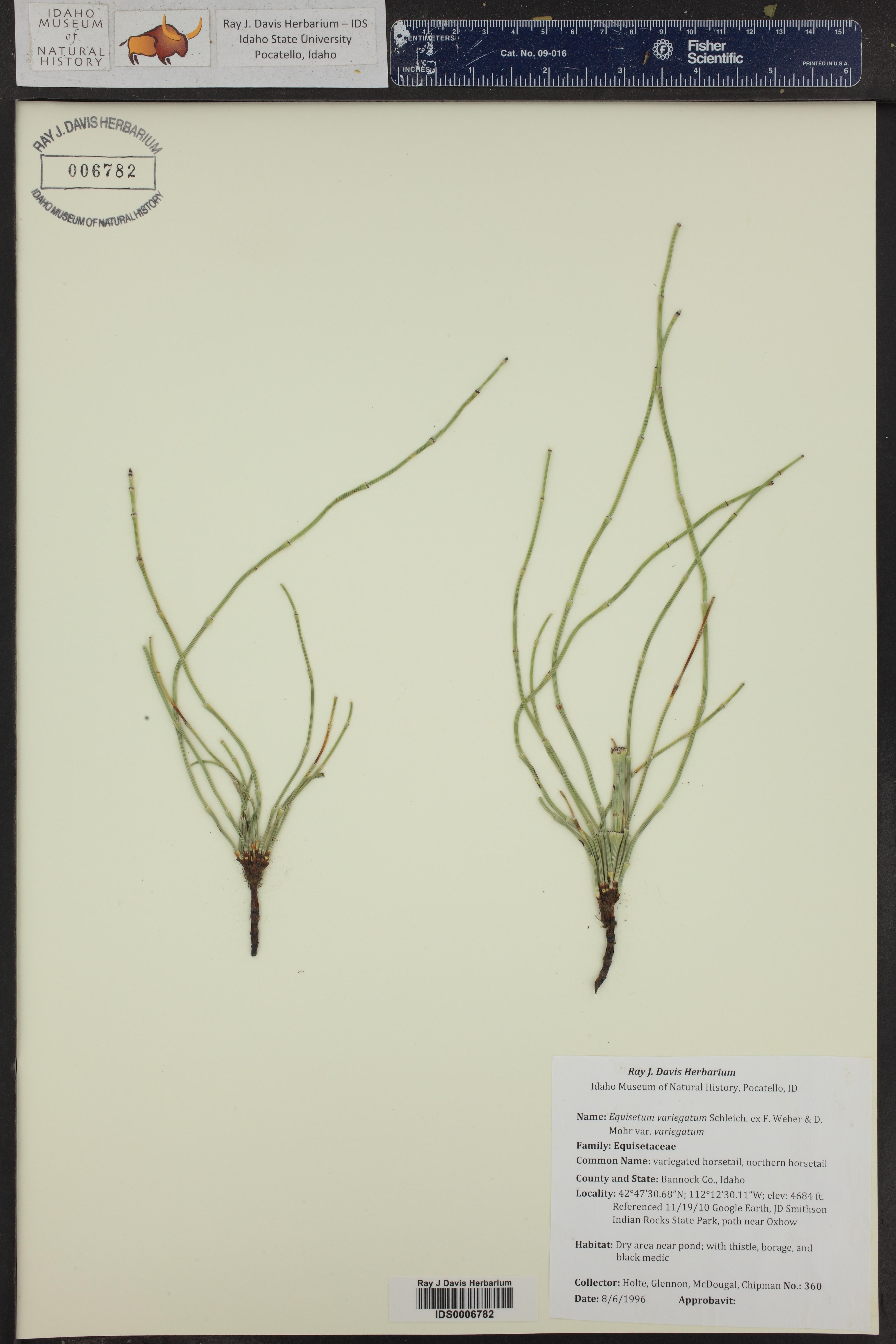 Equisetum variegatum ssp. variegatum ()