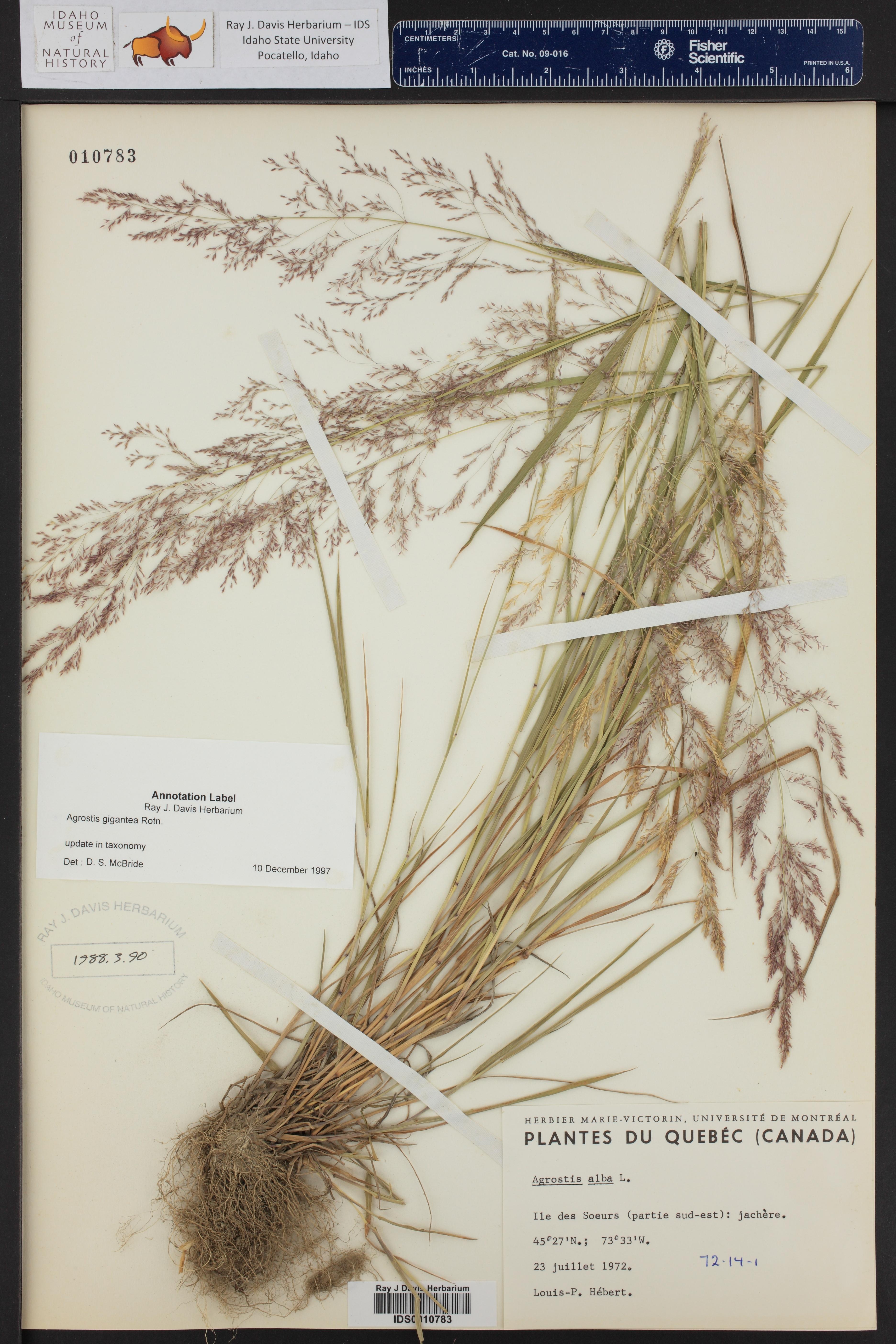 Agrostis gigantea ()