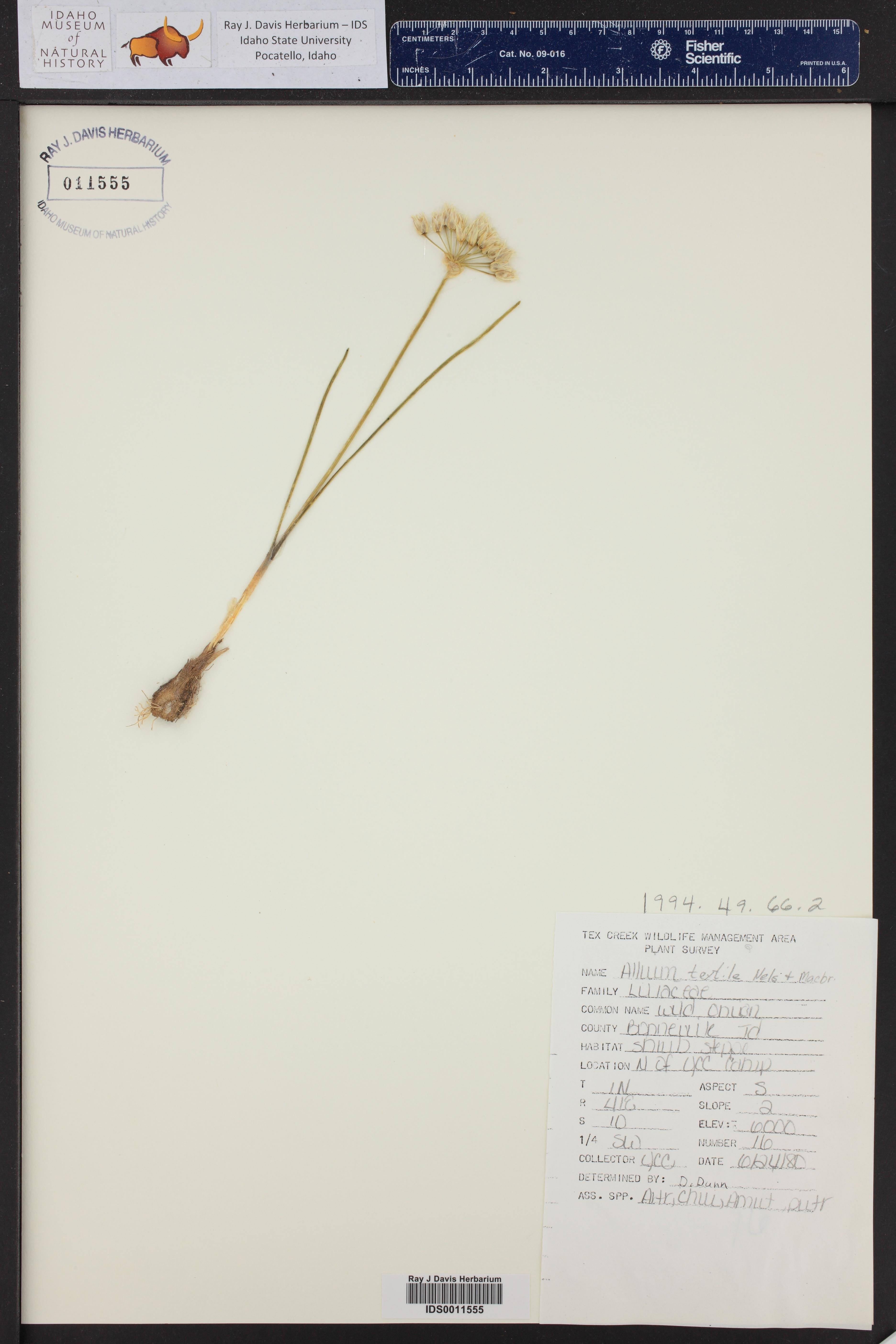 Allium textile ()