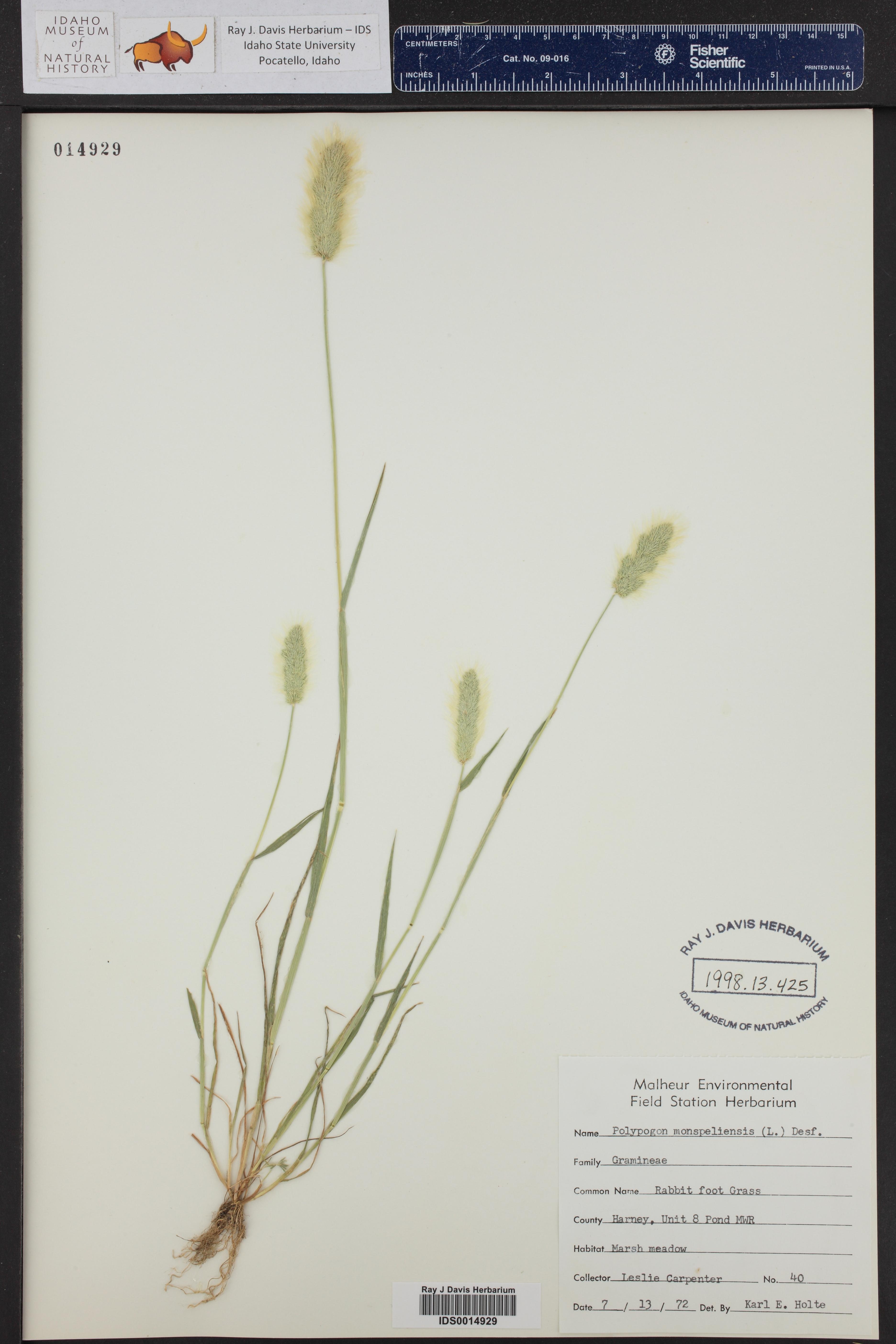 Polypodium amorphum ()