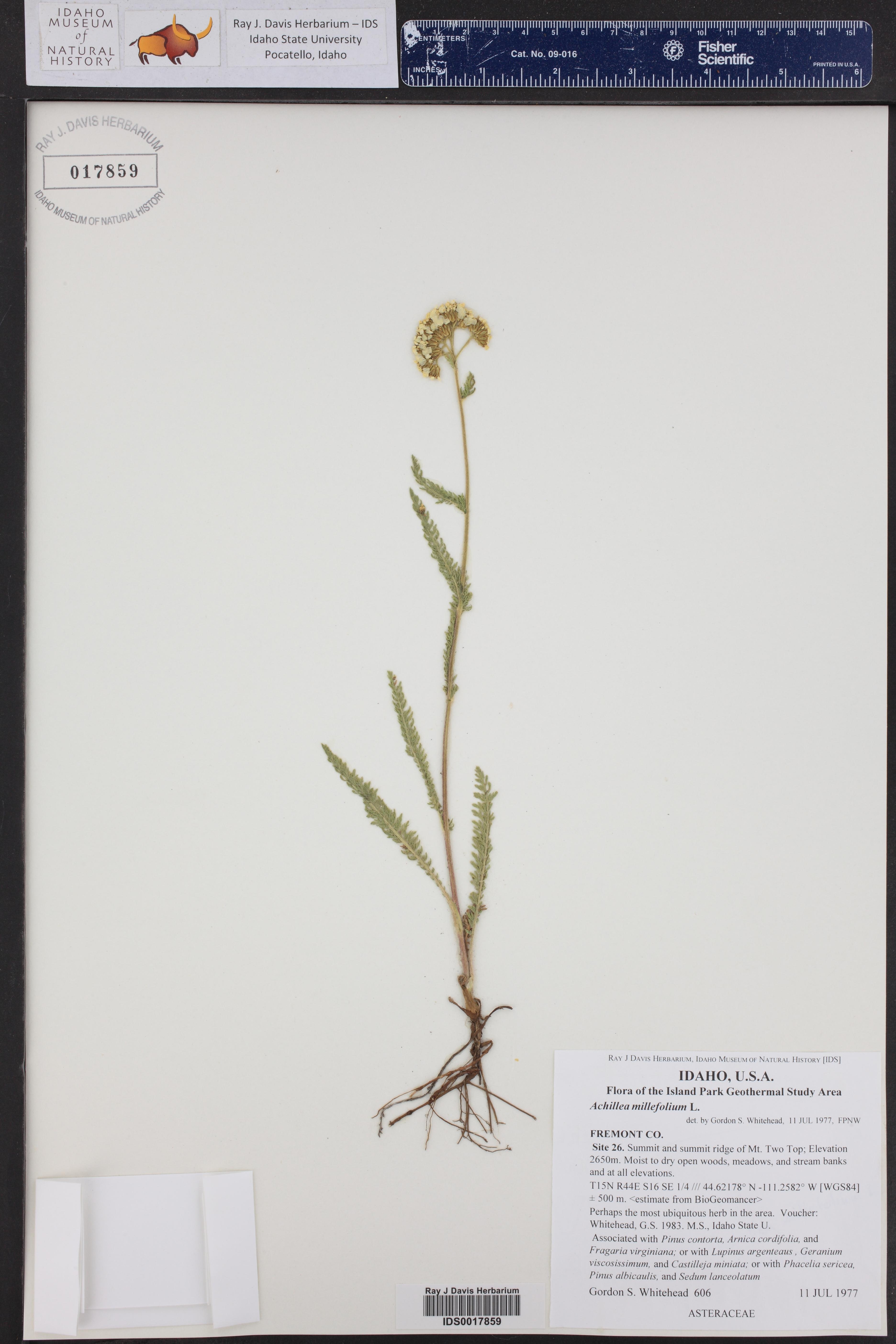 Achillea millefolium ()
