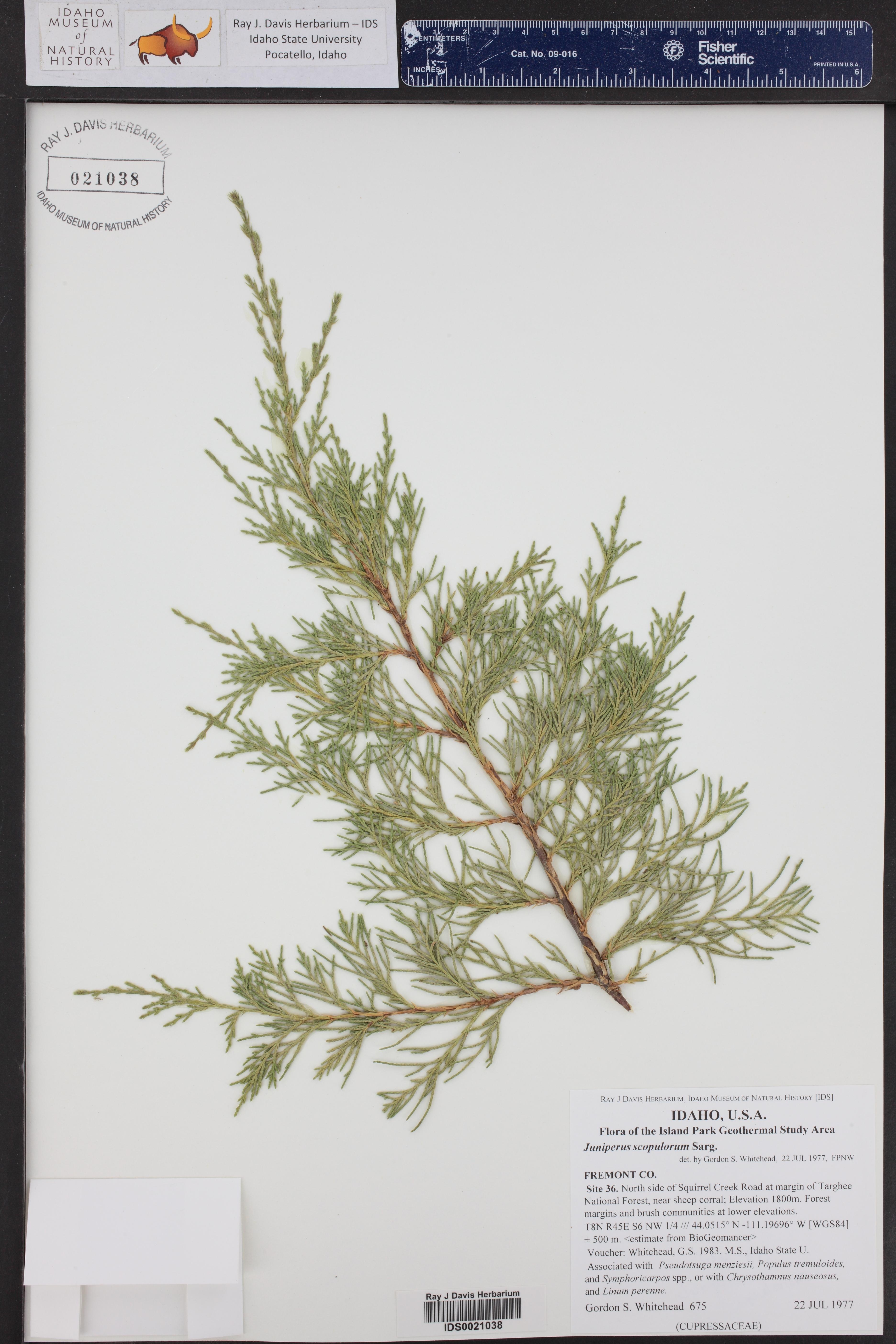Juniperus scopulorum ()