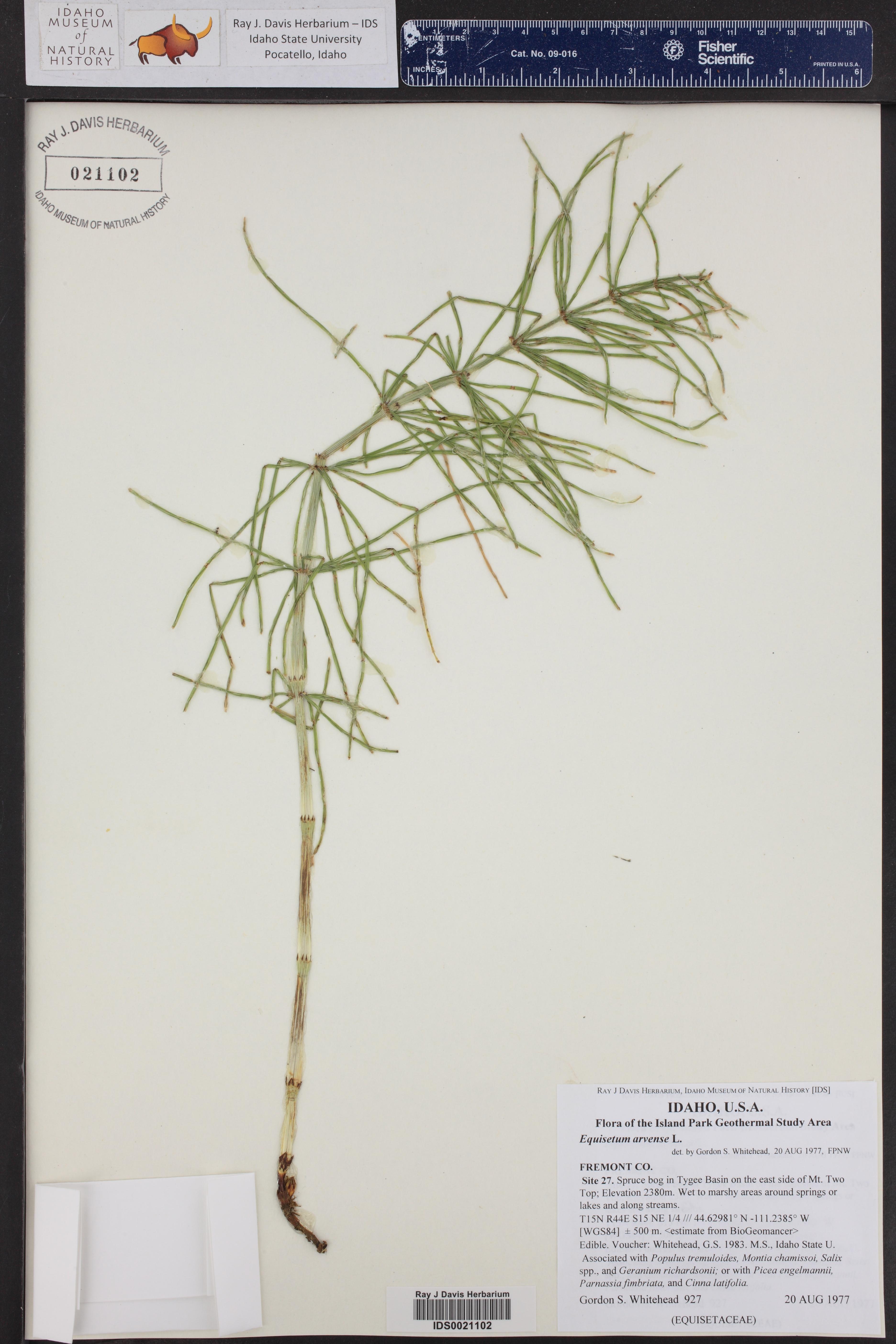 Equisetum arvense ()