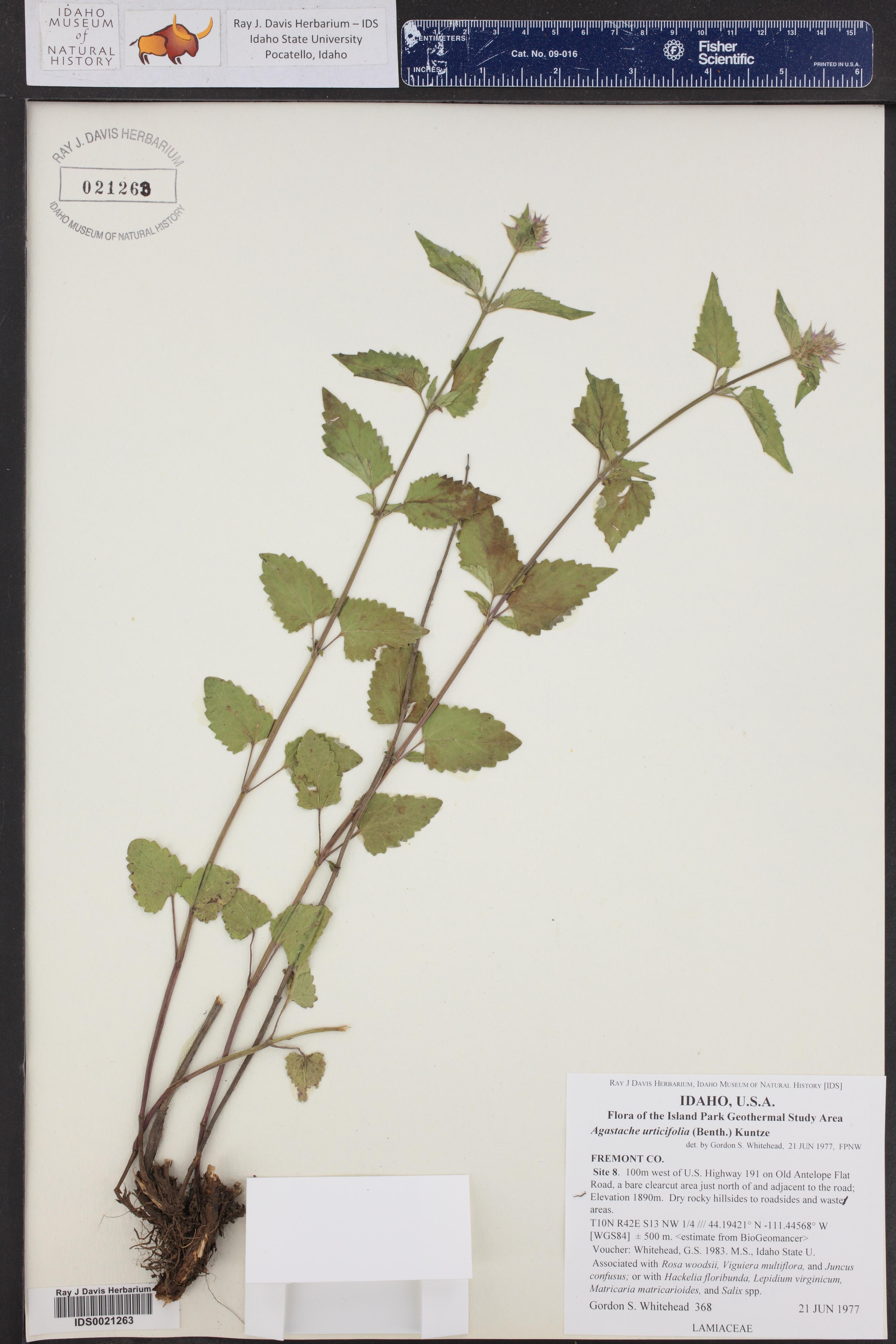 Agastache urticifolia ()