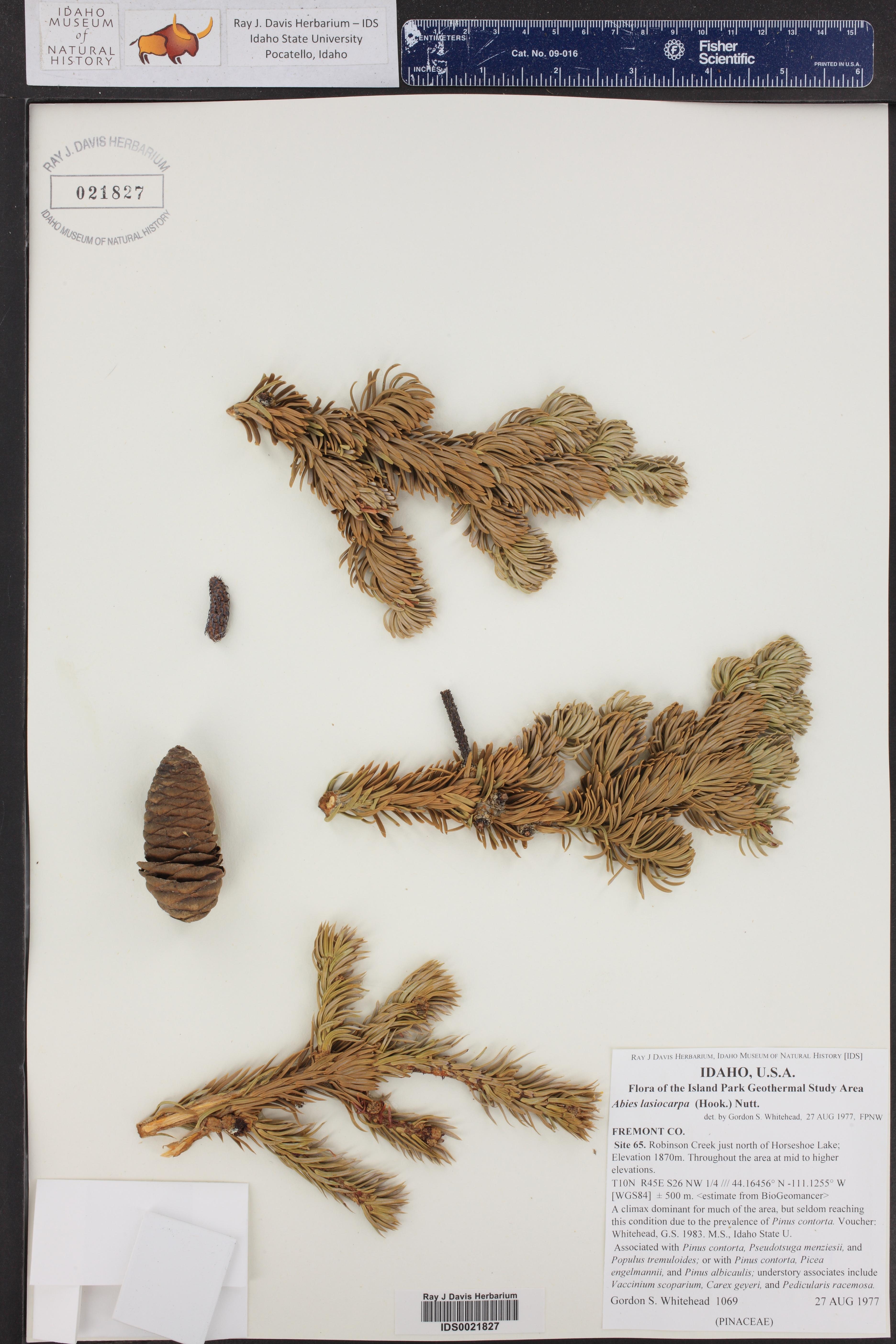 Abies lasiocarpa ()