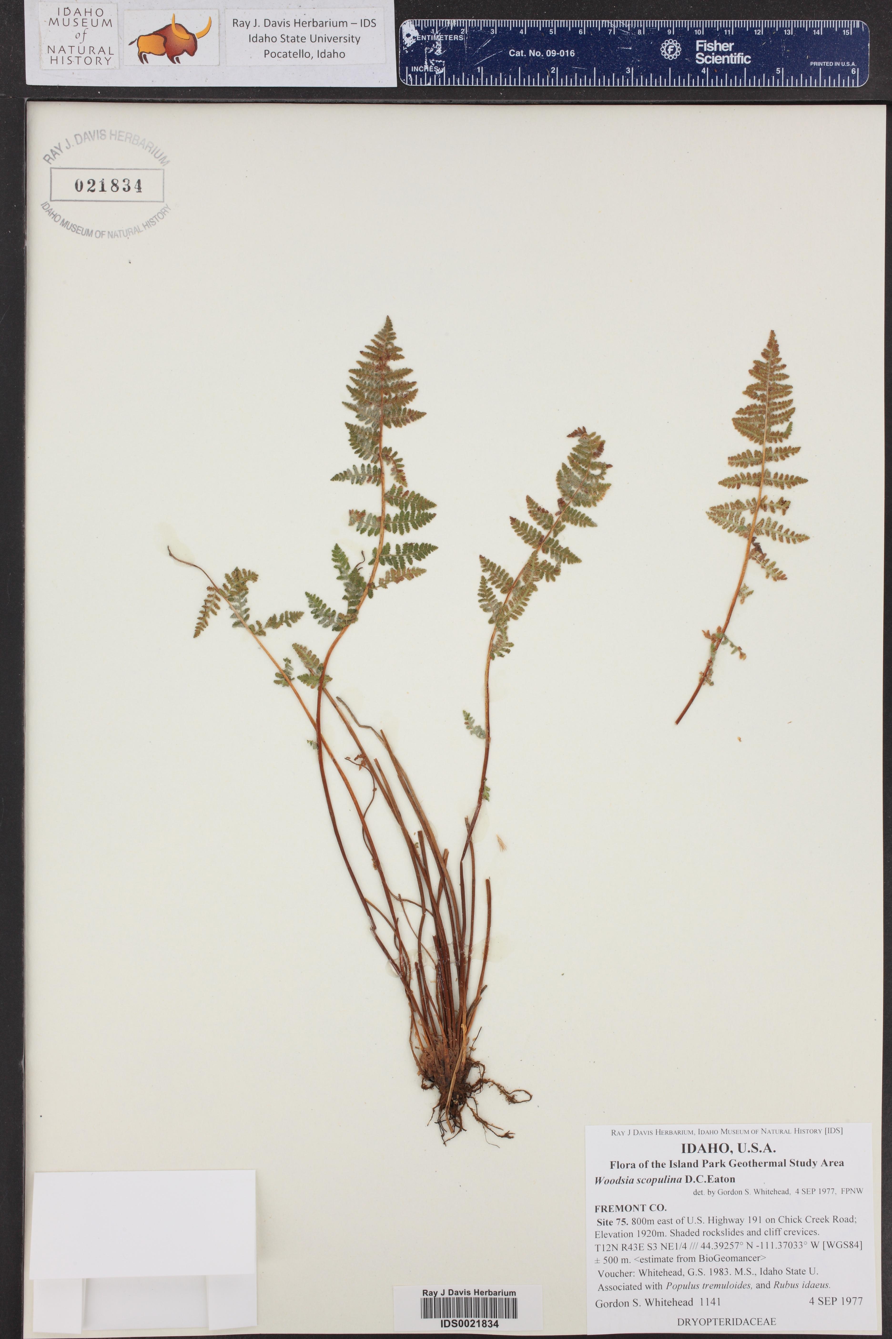 Woodsia scopulina ()