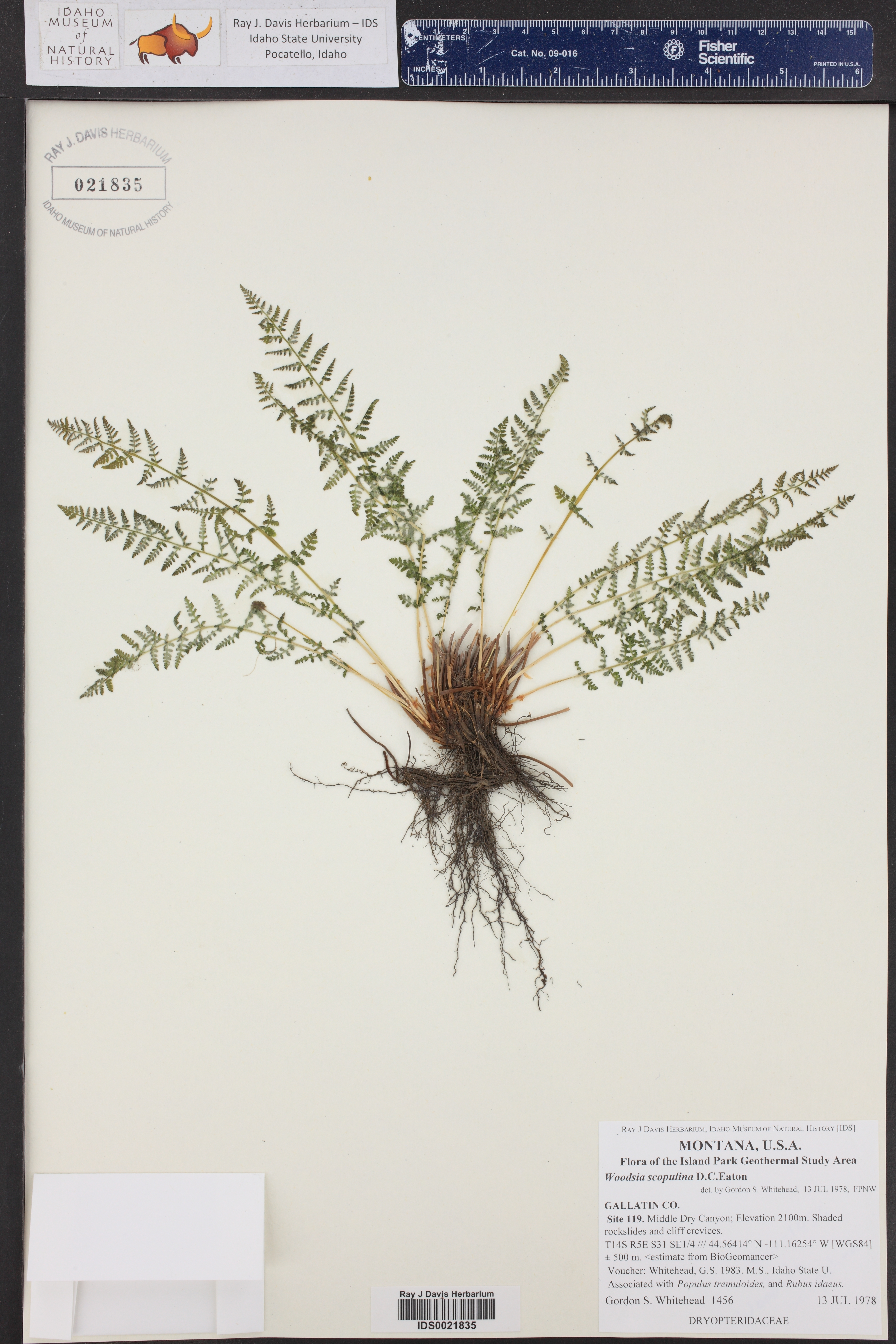 Woodsia scopulina ()