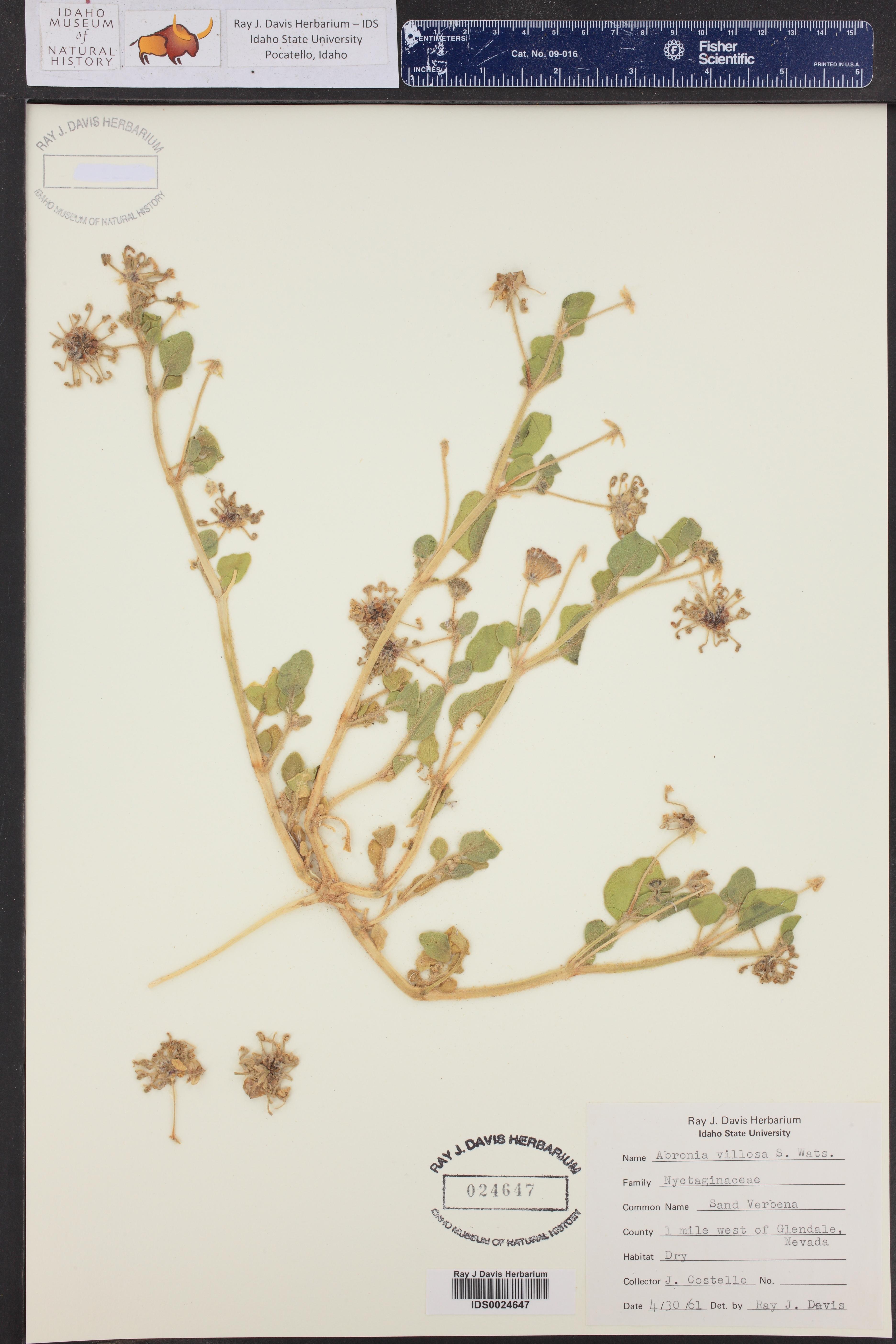 Abronia villosa ()