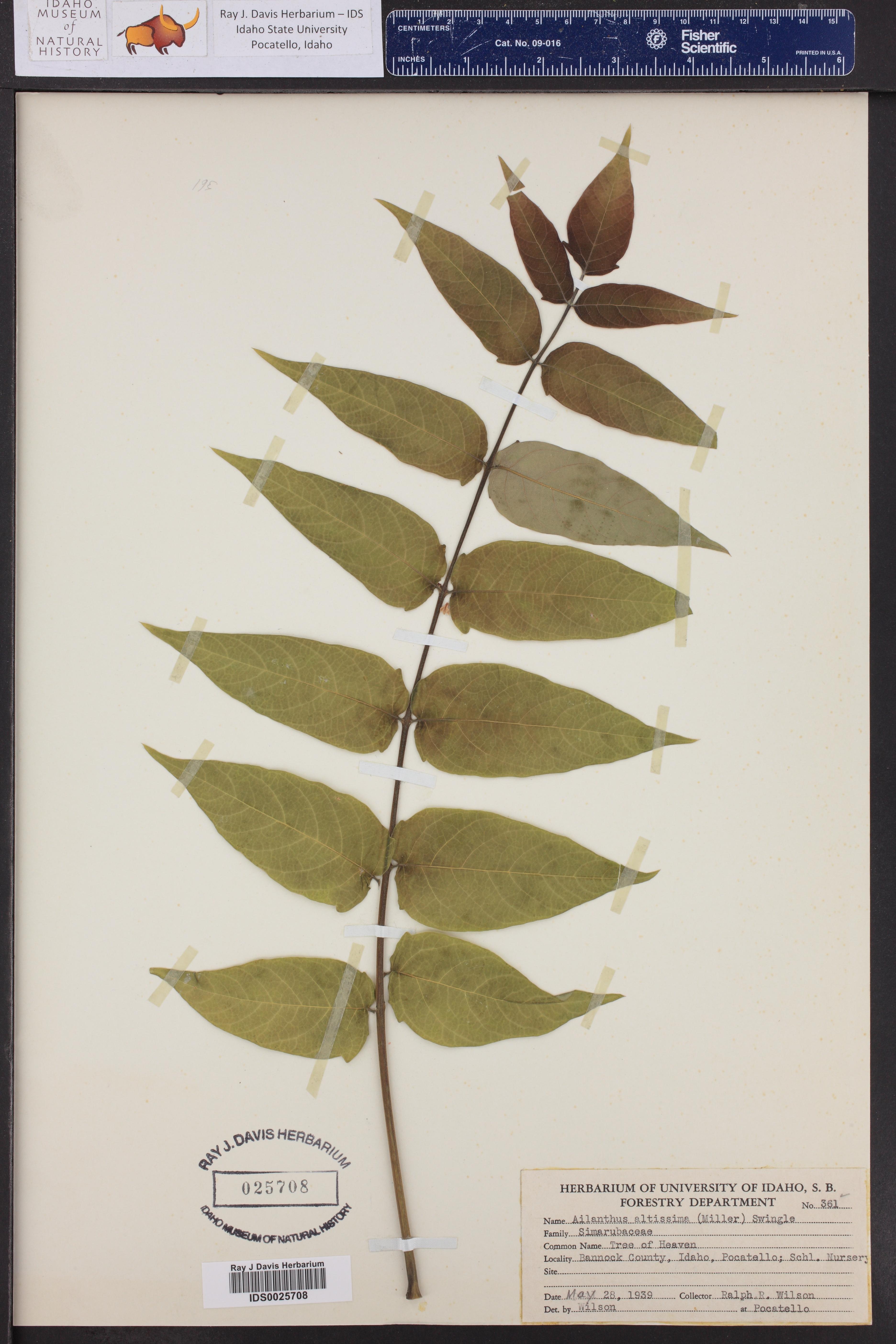 Ailanthus altissima ()
