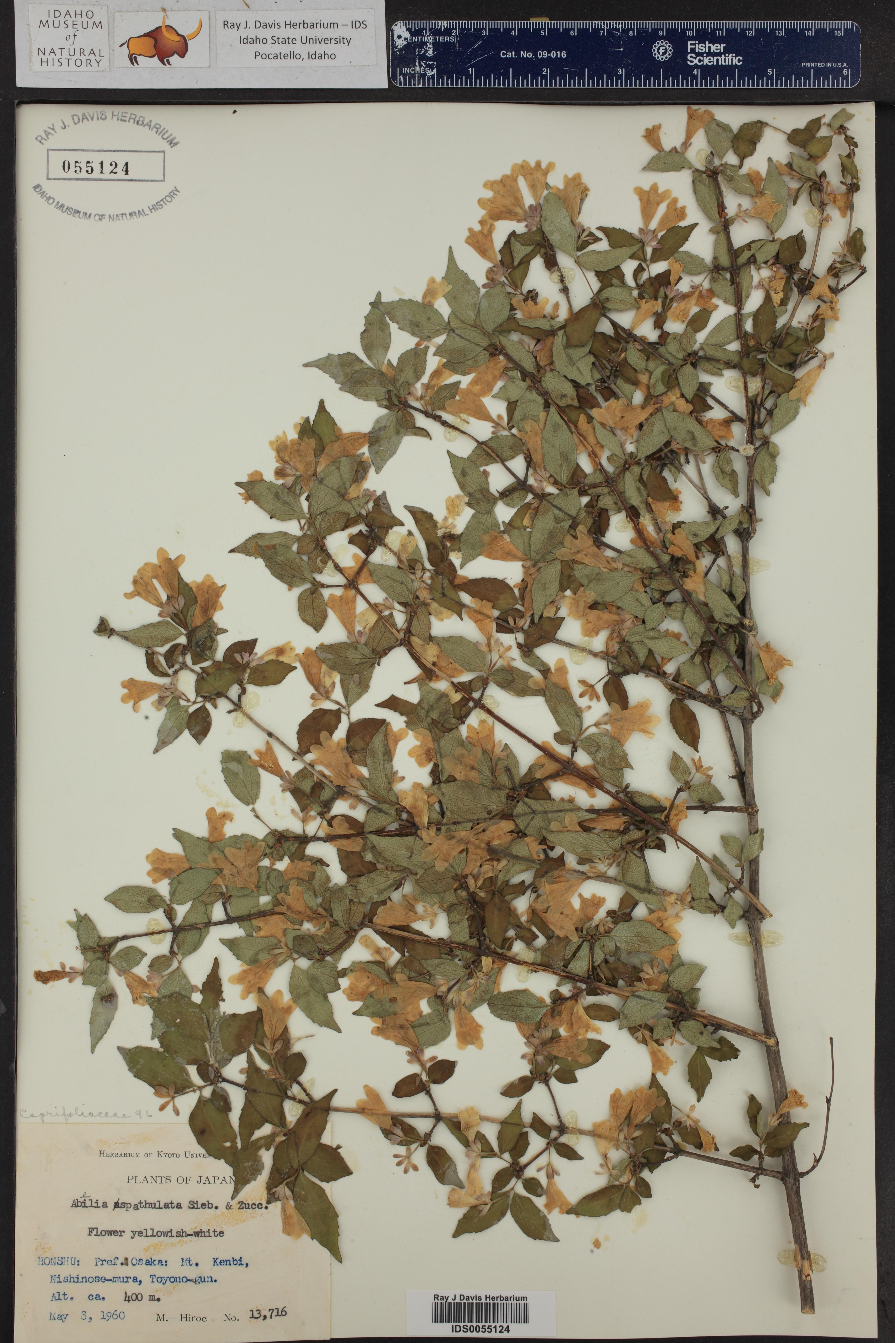 Abelia spathulata ()