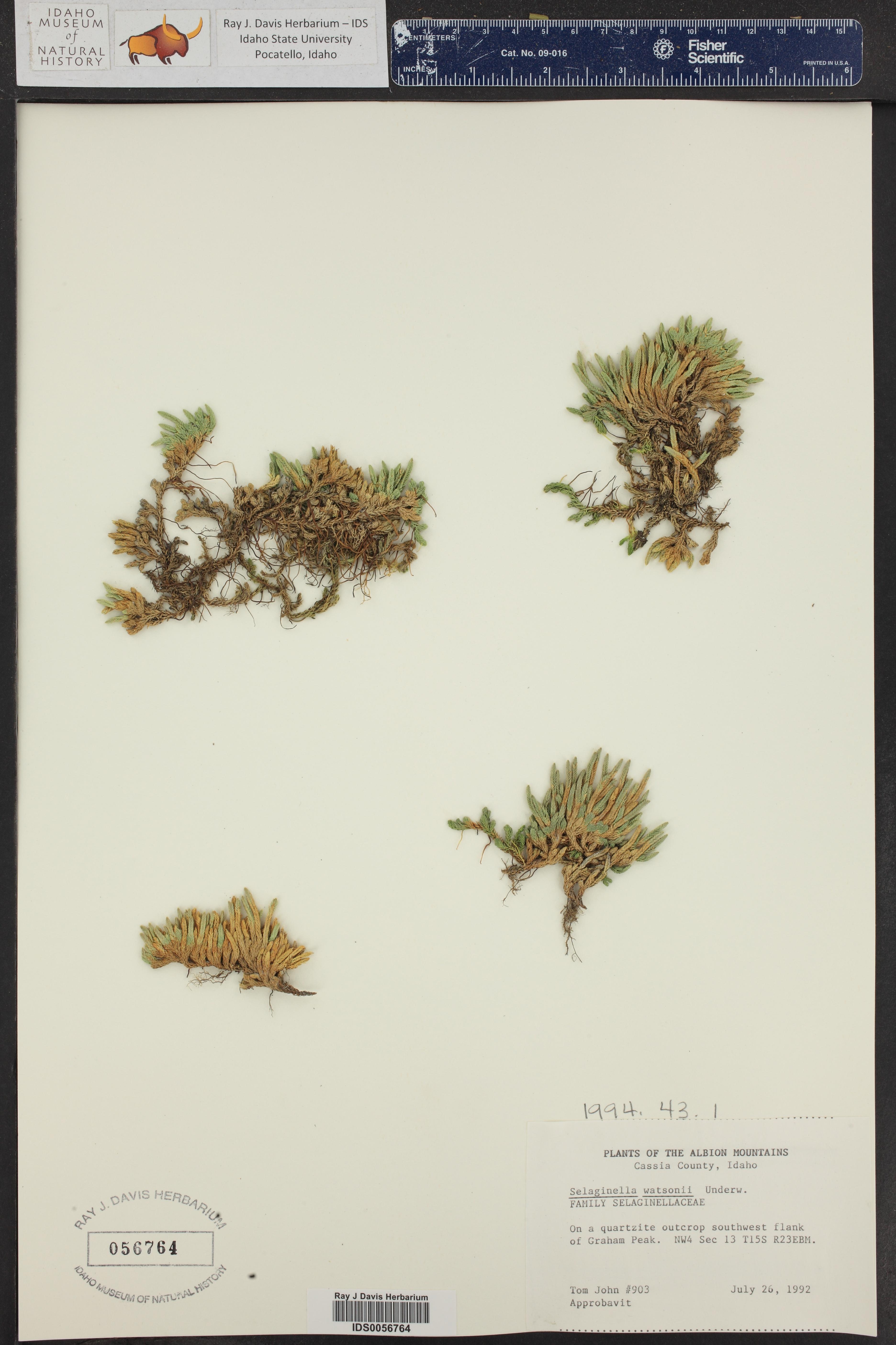 Selaginella watsonii ()