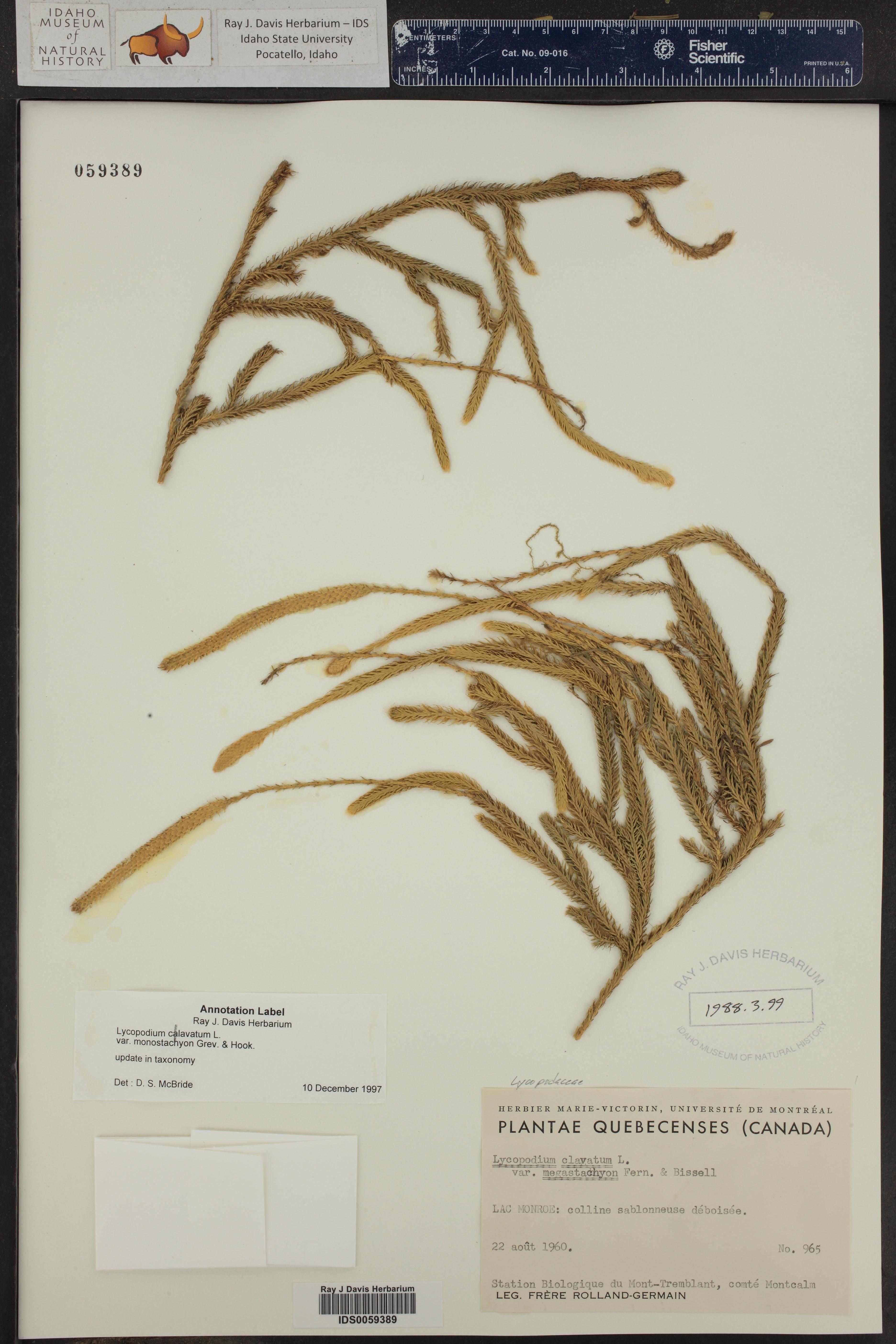 Lycopodium lagopus ()
