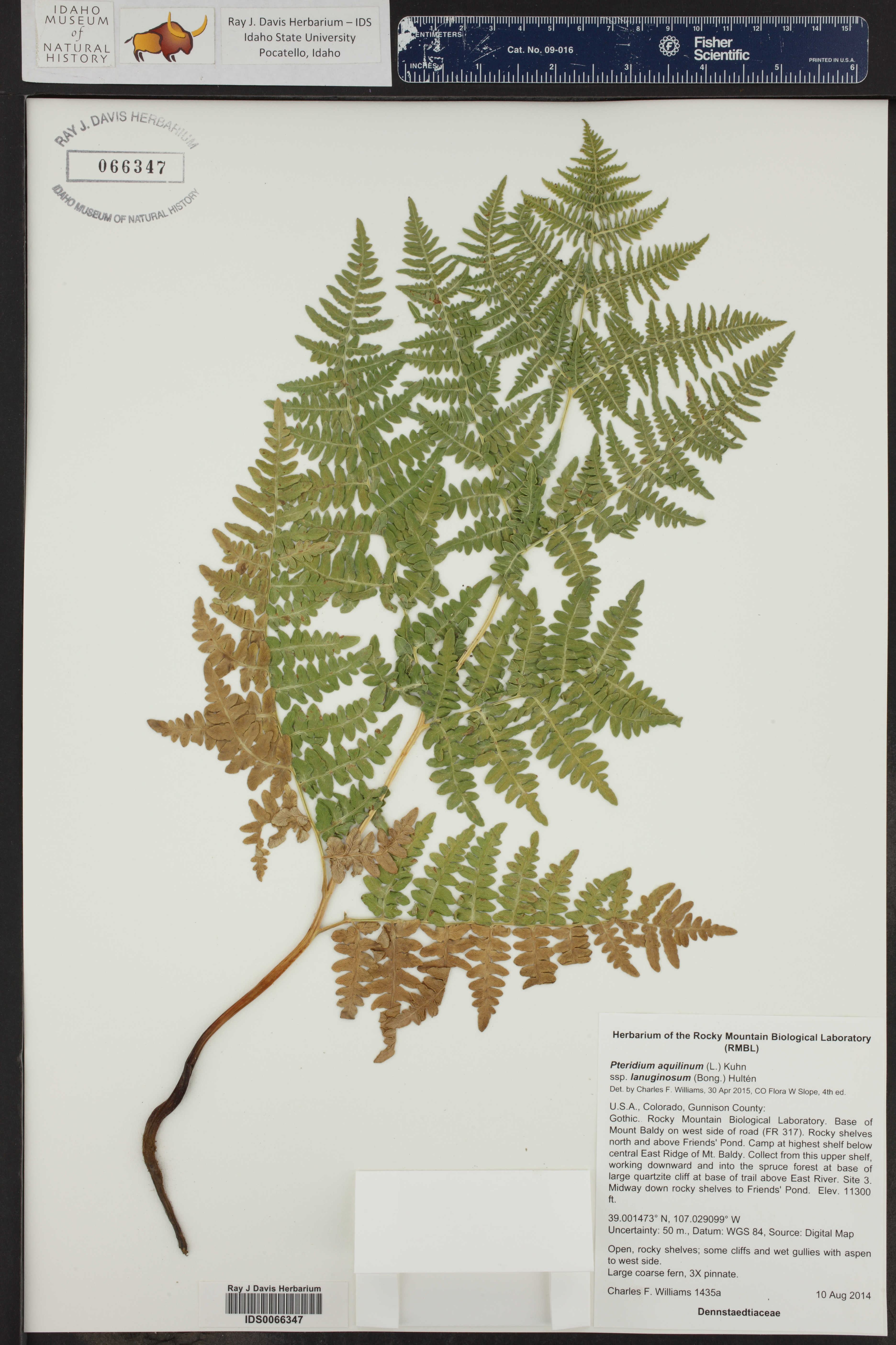 Pteridium aquilinum ssp. pubescens ()