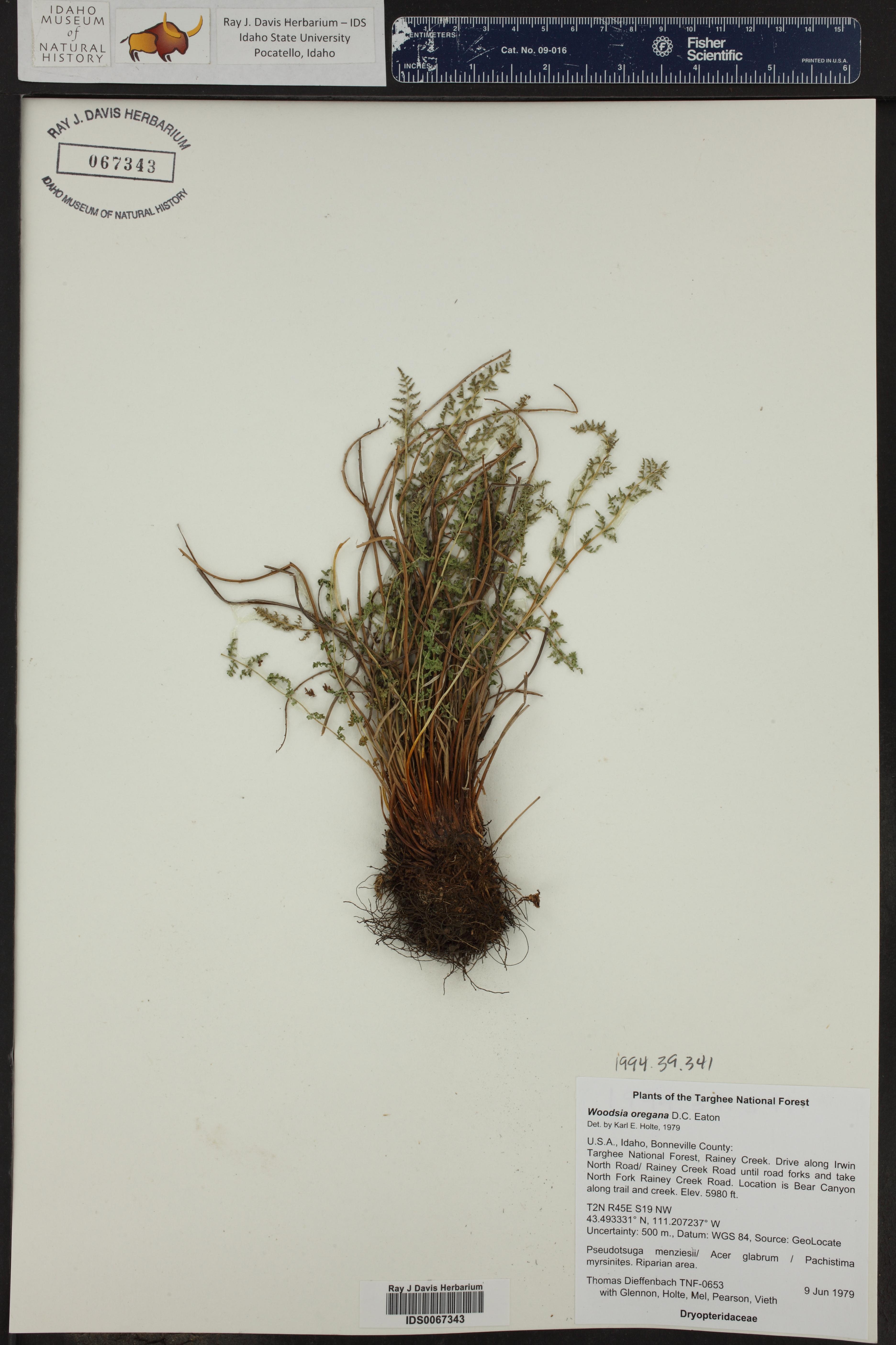 Woodsia oregana ()