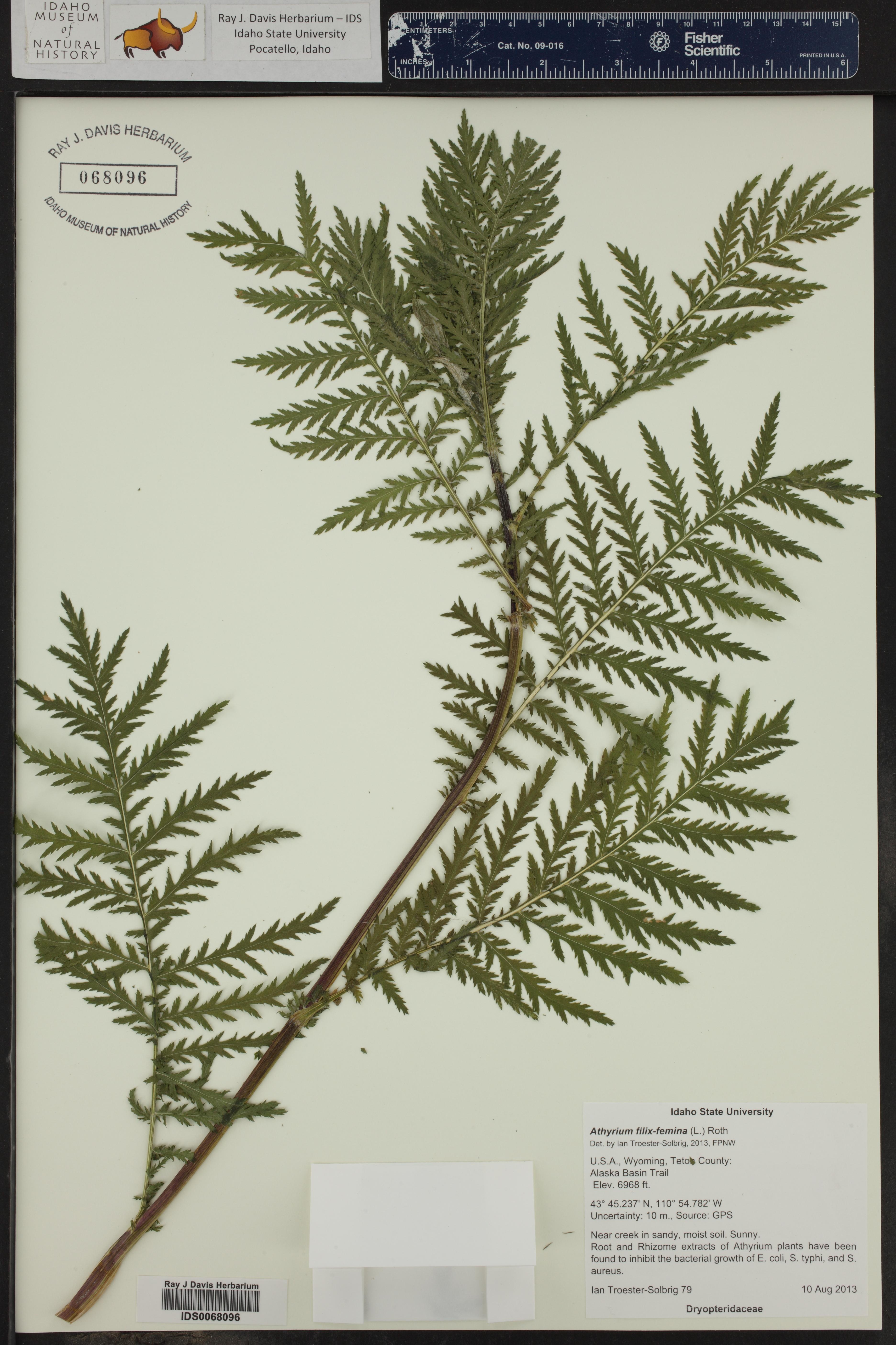 Athyrium filix-femina ()