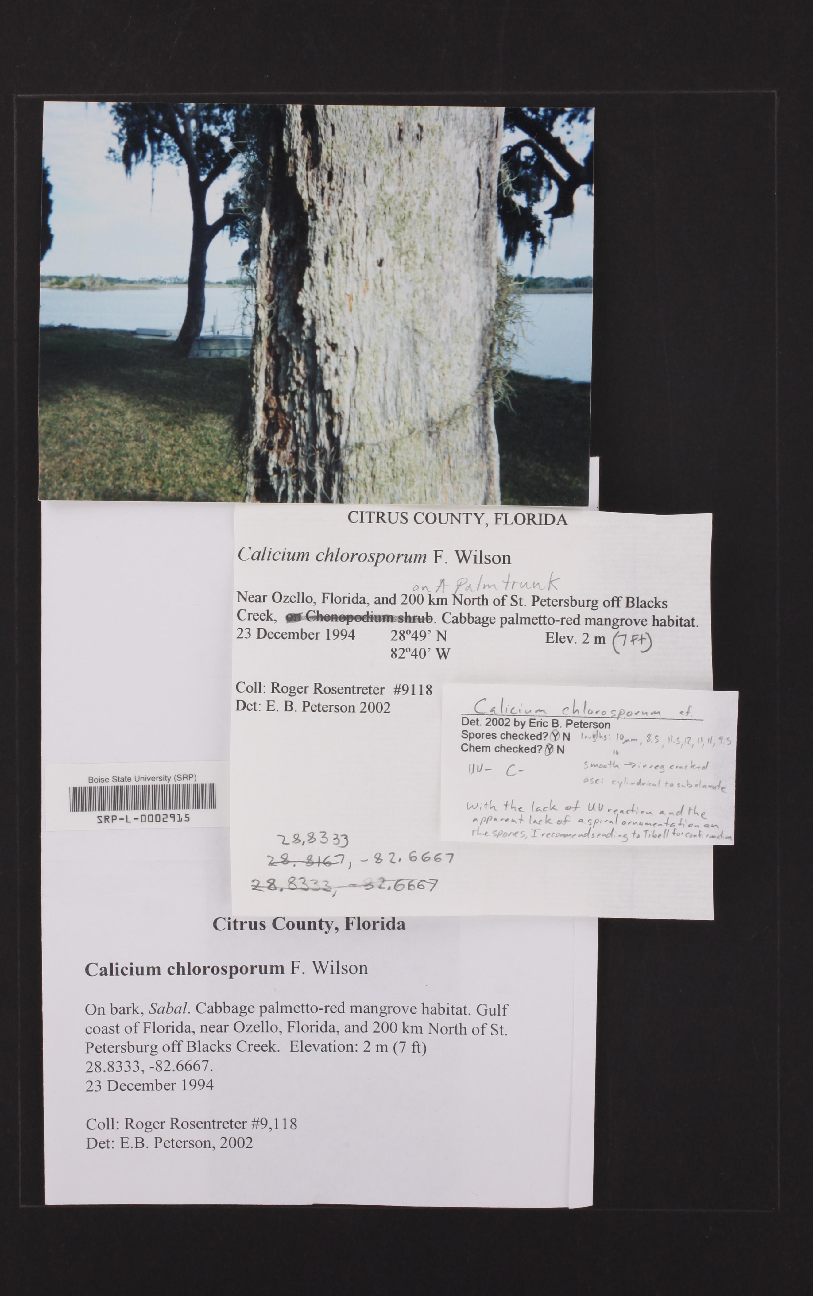 Calicium chlorosporum image