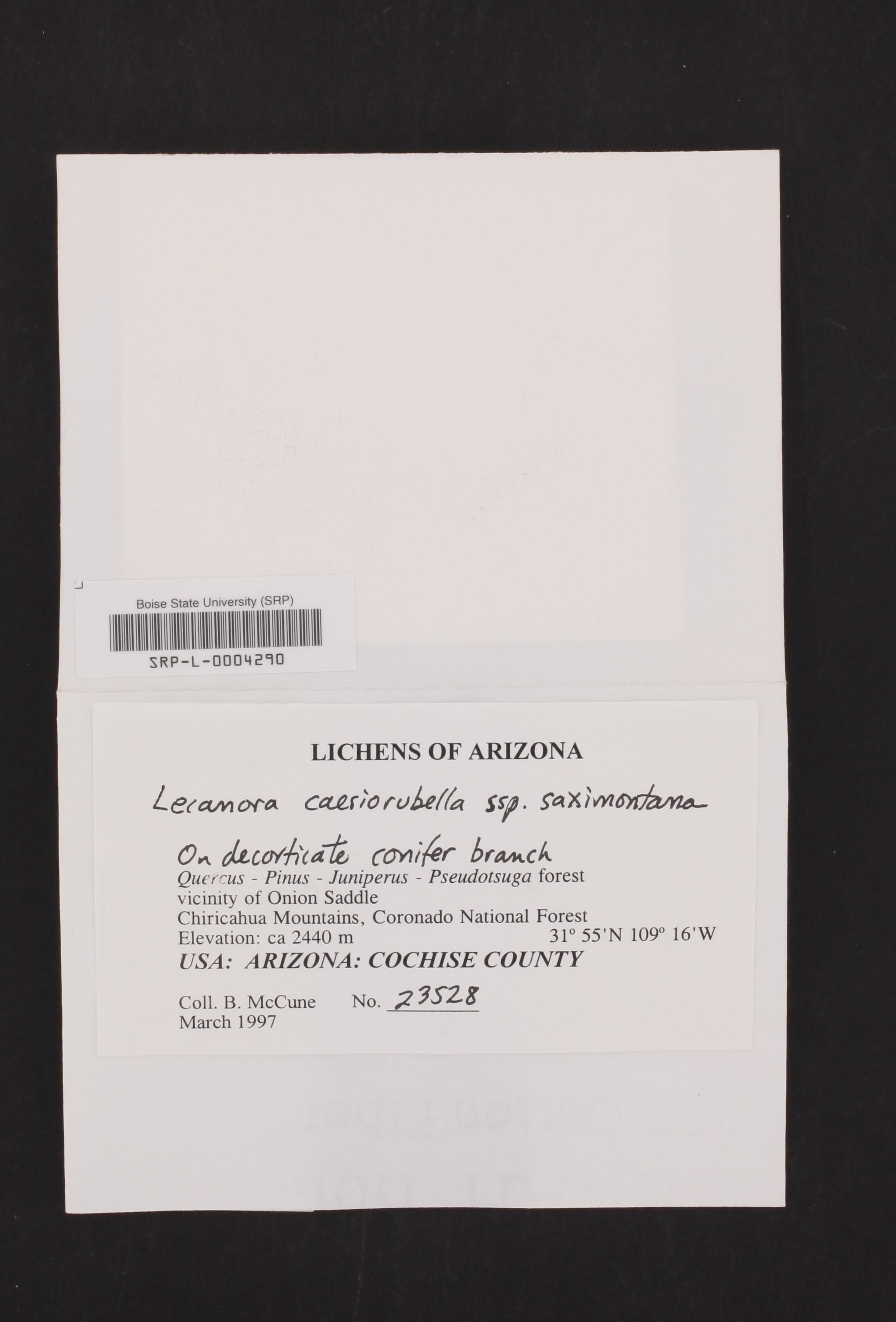 Lecanora caesiorubella subsp. saximontana image