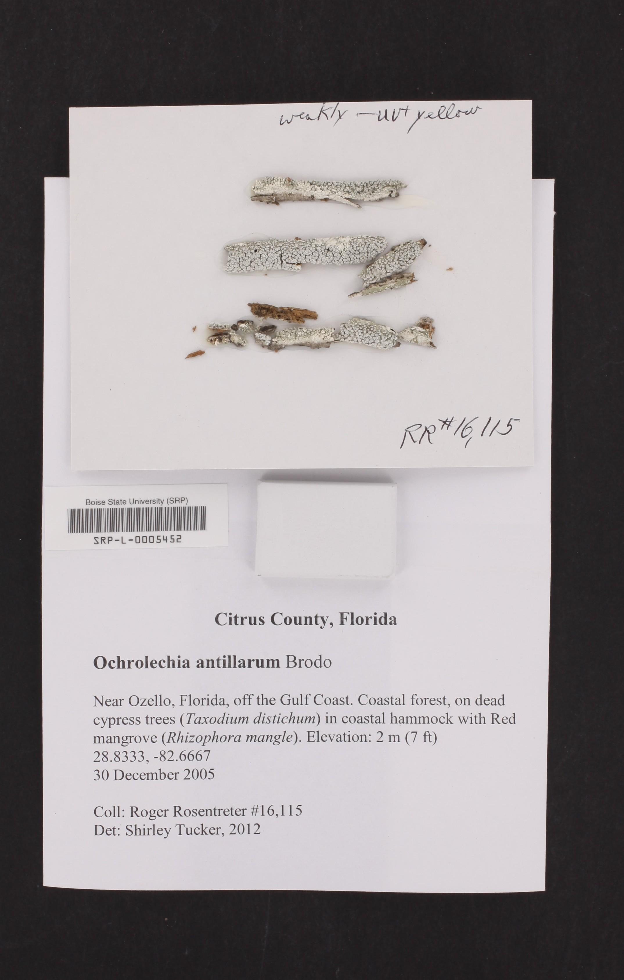 Ochrolechia antillarum image