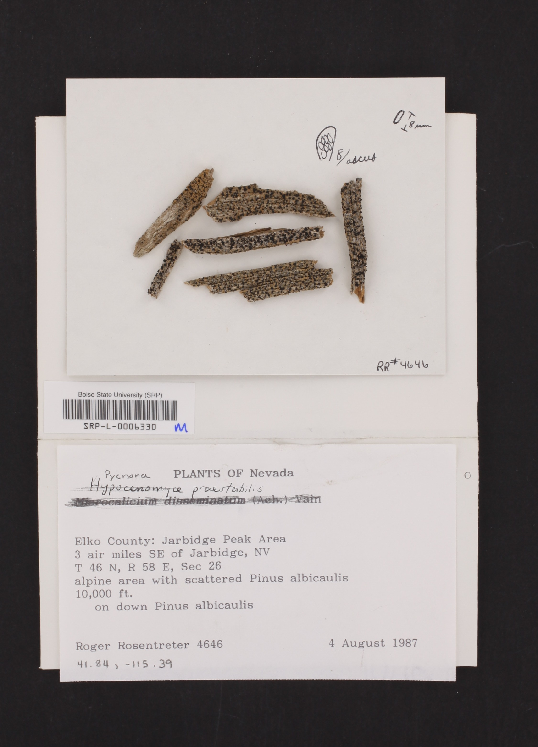 Pycnora praestabilis image