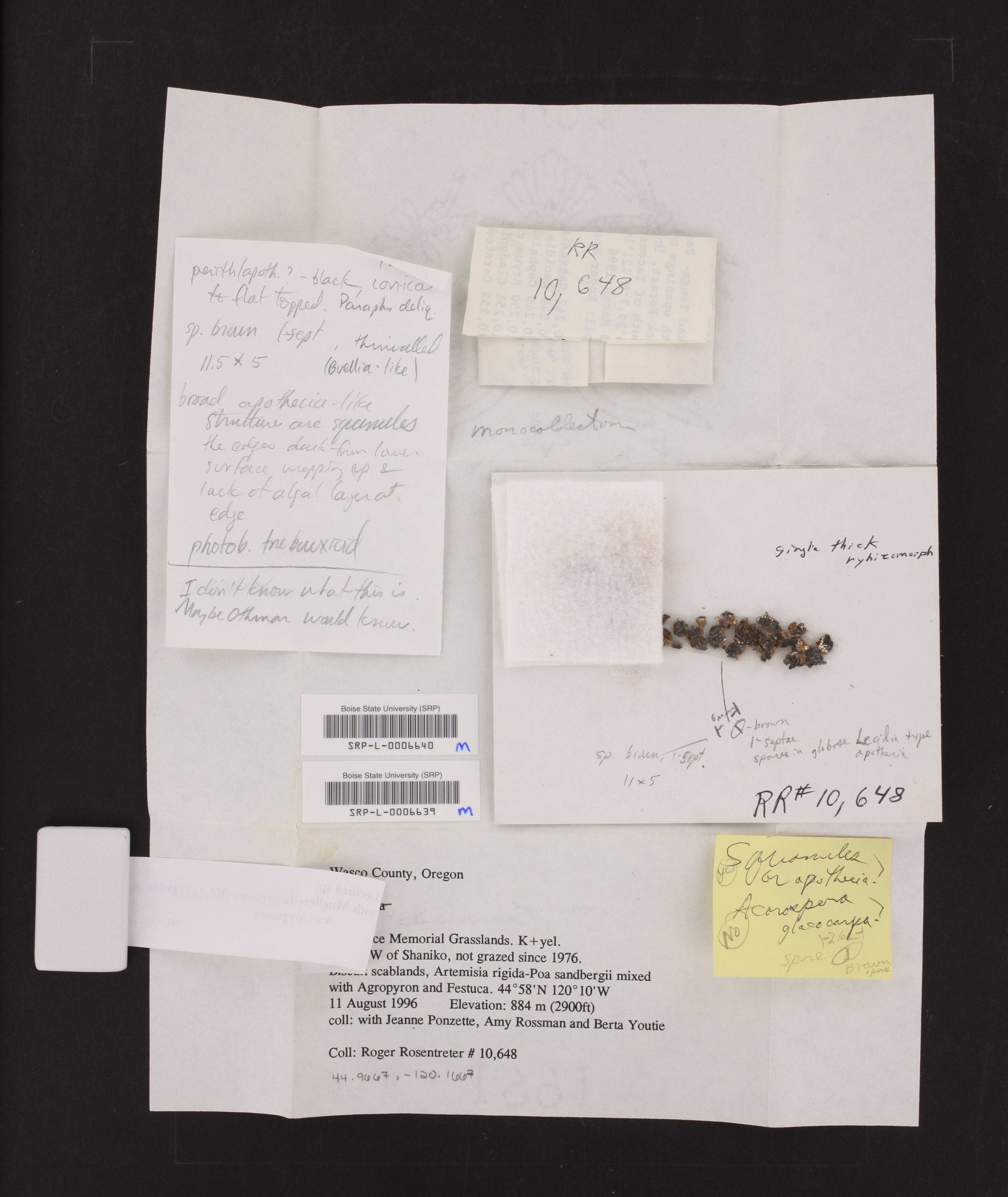 Muellerella pygmaea image
