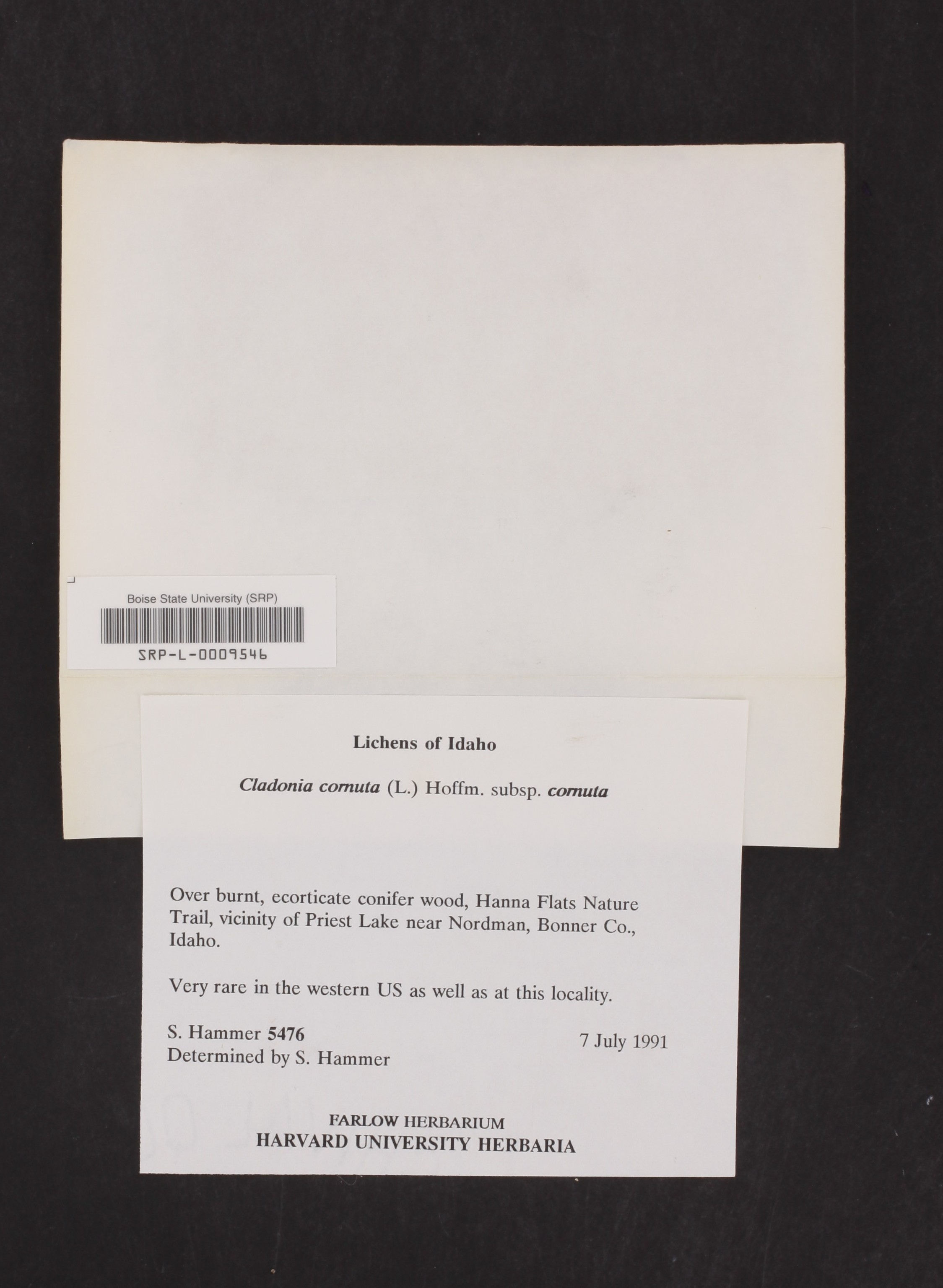 Cladonia cornuta subsp. cornuta image