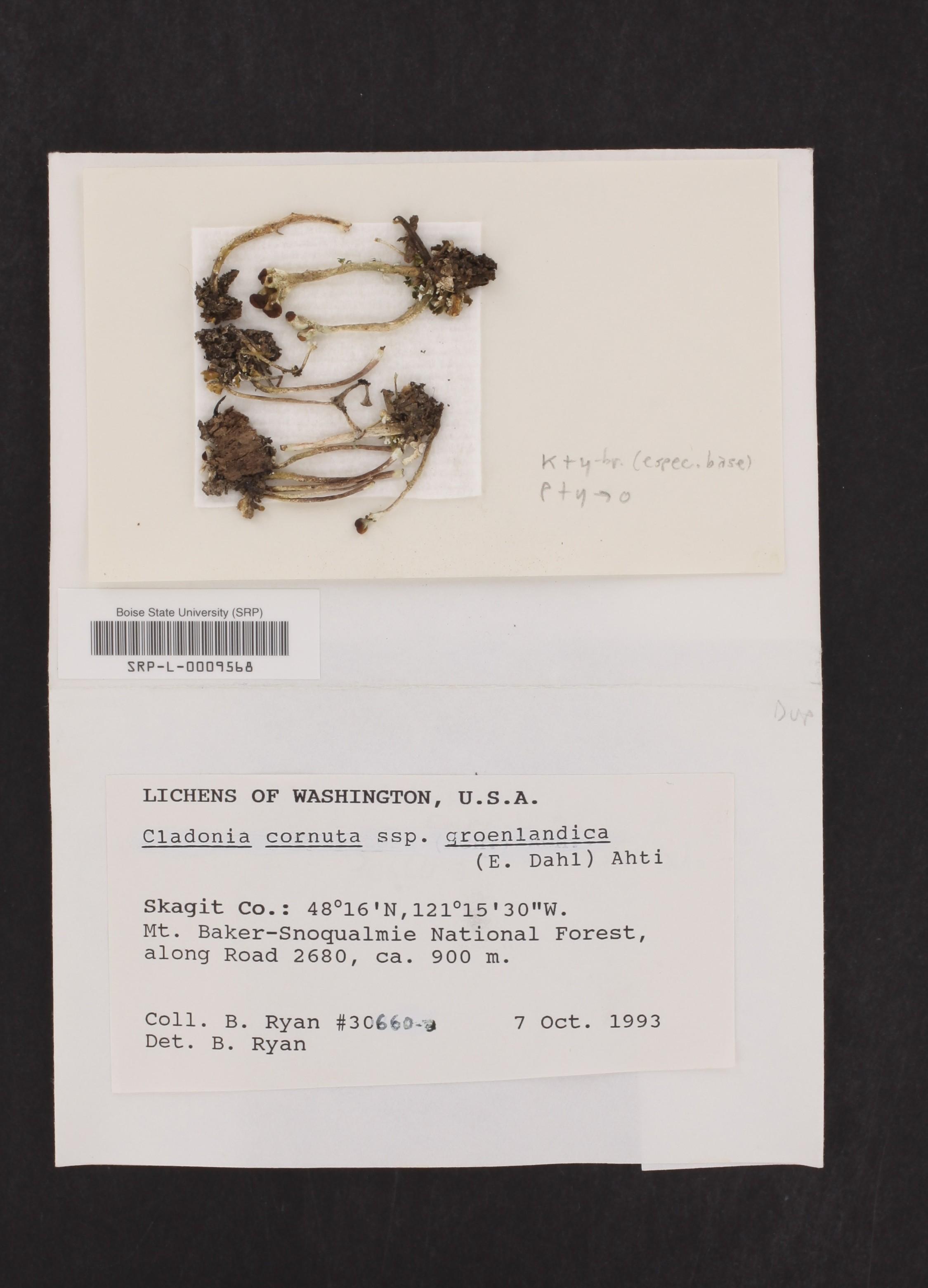Cladonia cornuta subsp. groenlandica image