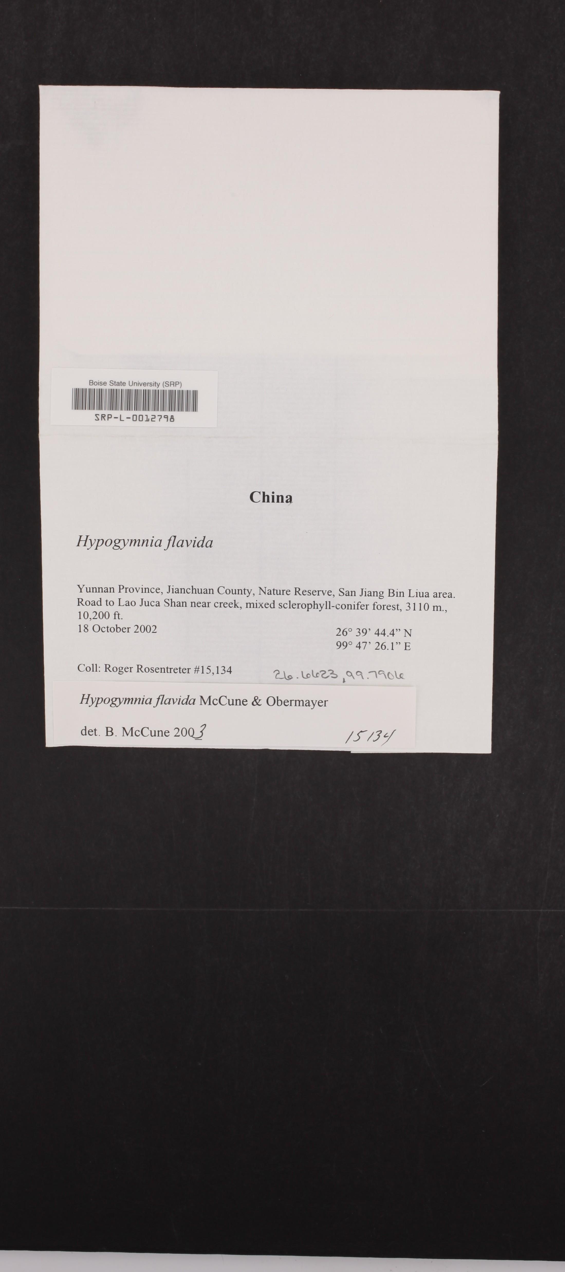 Hypogymnia flavida image