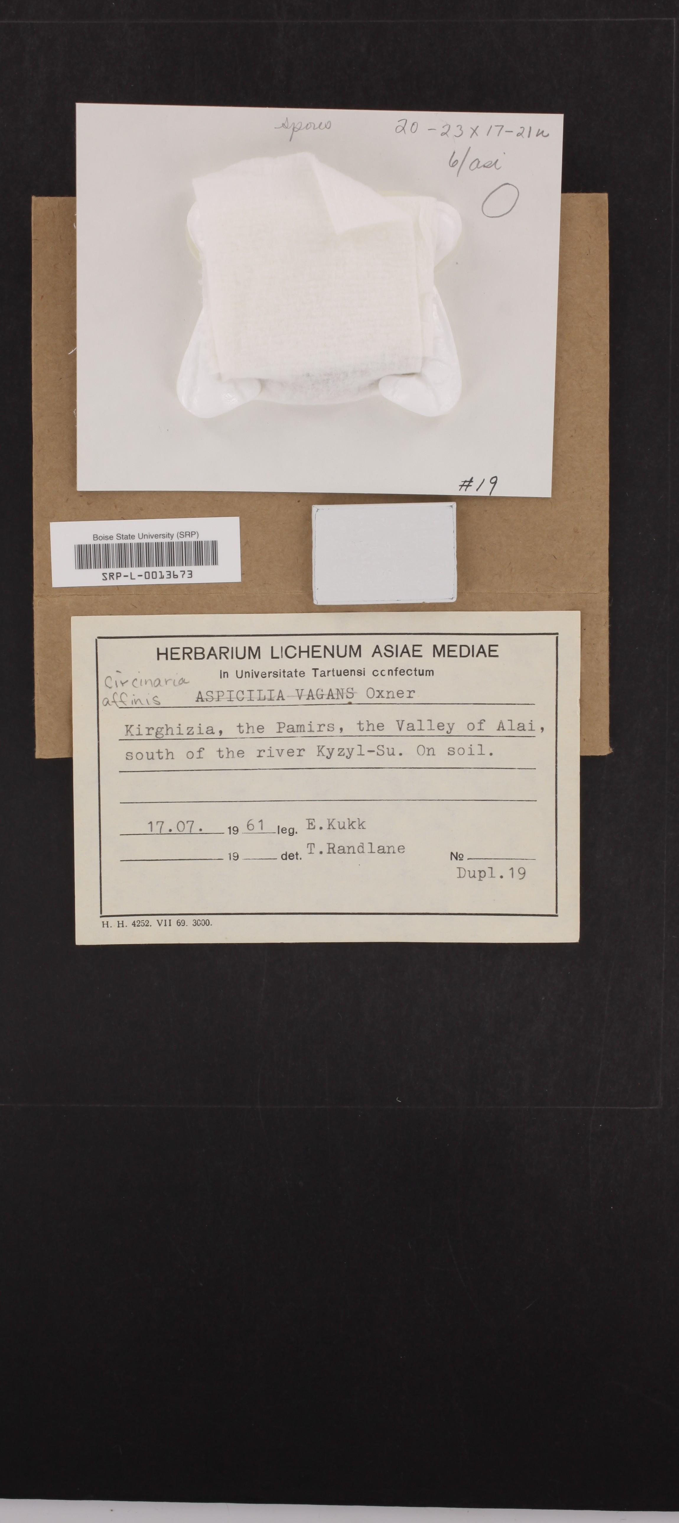 Circinaria affinis image