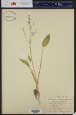 Alisma plantago-aquatica ()