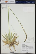 Aletris farinosa ()