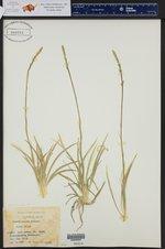 Aletris spicata ()