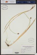 Allium schoenoprasum ()