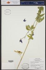 Aconitum columbianum ()