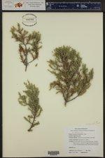 Juniperus communis ()