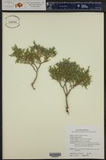 Juniperus scopulorum ()