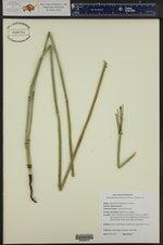 Equisetum laevigatum ()
