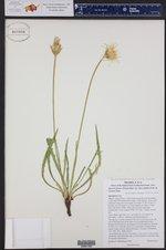 Agoseris glauca var. dasycephala ()