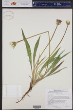Agoseris aurantiaca ()
