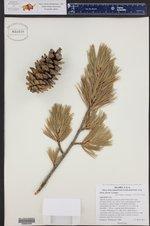 Pinus flexilis ()