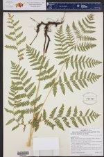 Pteridium aquilinum ()