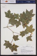 Acer leucoderme ()