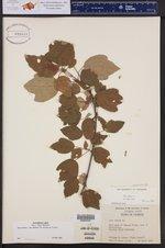 Acer rubrum var. trilobum ()