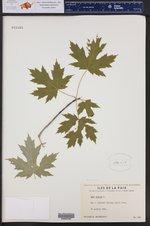 Acer rubrum ()