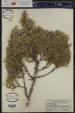 Juniperus osteosperma ()
