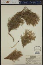 Pinus contorta ()